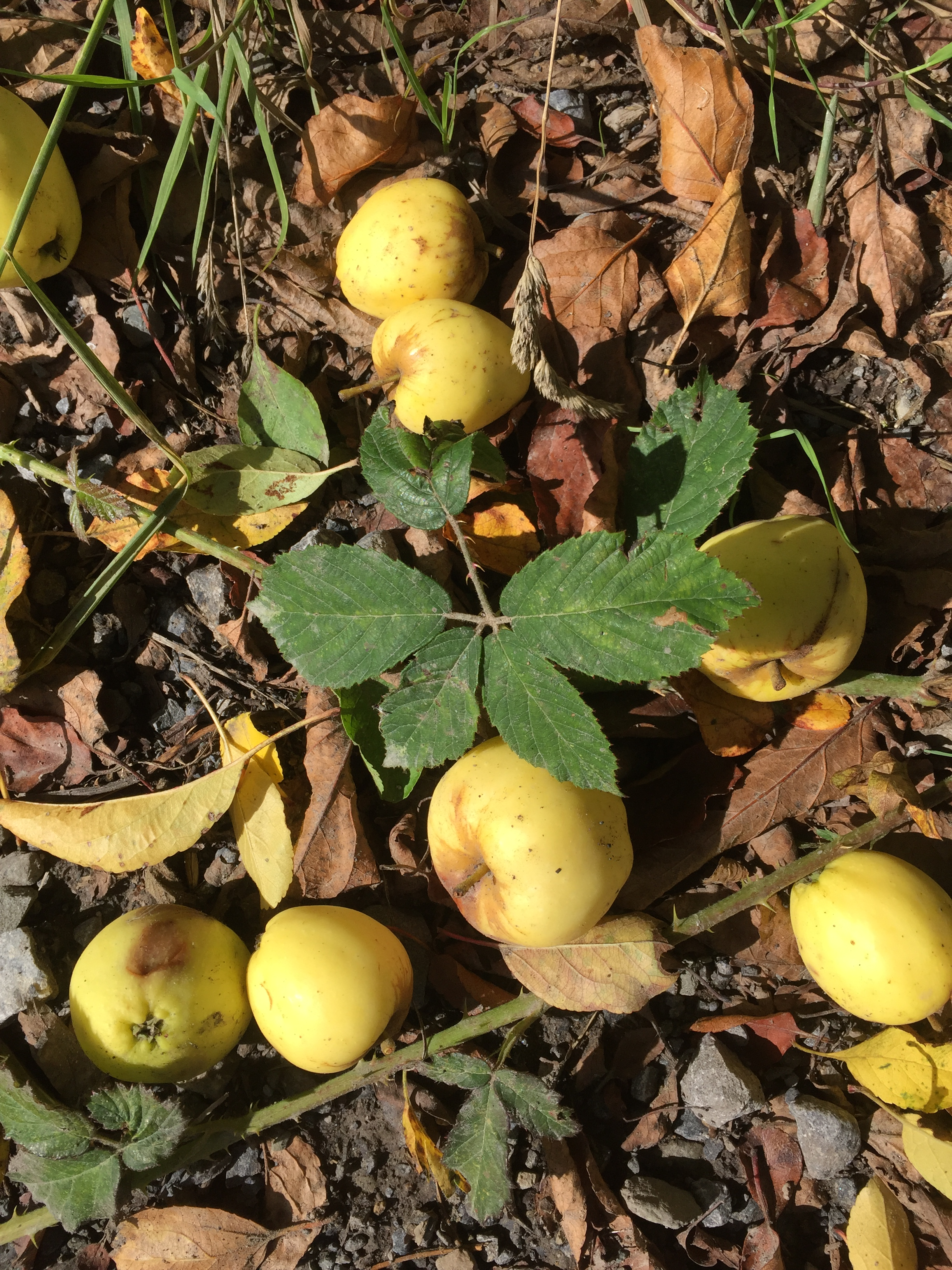 Crab apple windfalls on a lane in early September. Time to make crab apple jelly. I have never achieved this but I remember my mother straining the jelly through a muslin bag.