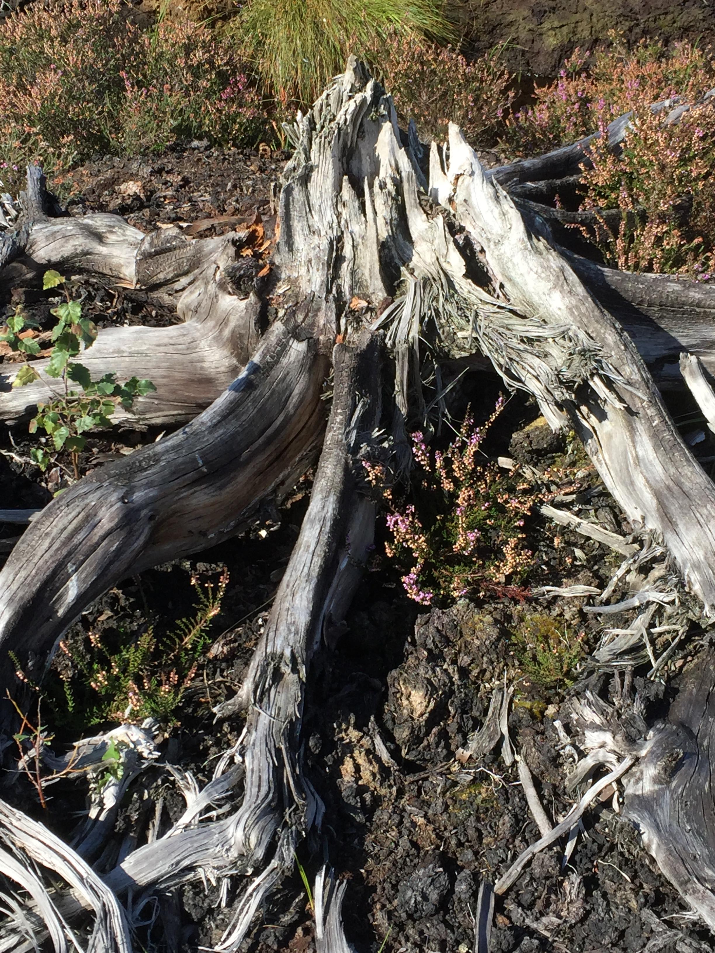 Old bog oak tree stump on peatland or heath in Ireland