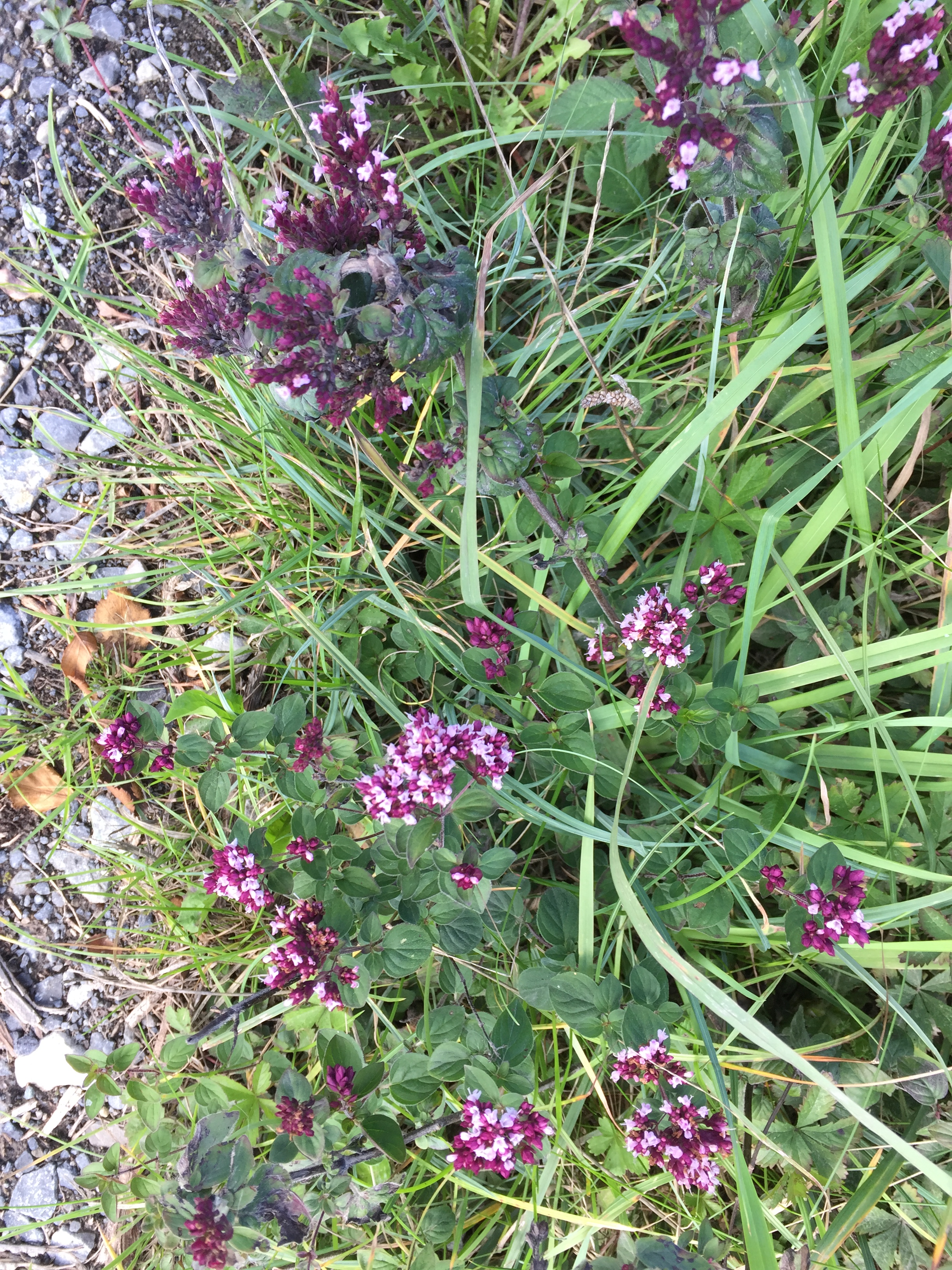 Wild thyme ( Thymus polytrichus ) growing along the lane across the bog. William Shakespeare wrote in 'A Midsummer Night's Dream':  ' I know a bank whereon the wild thyme blows, Where oxlips and the nodding violet grows.'