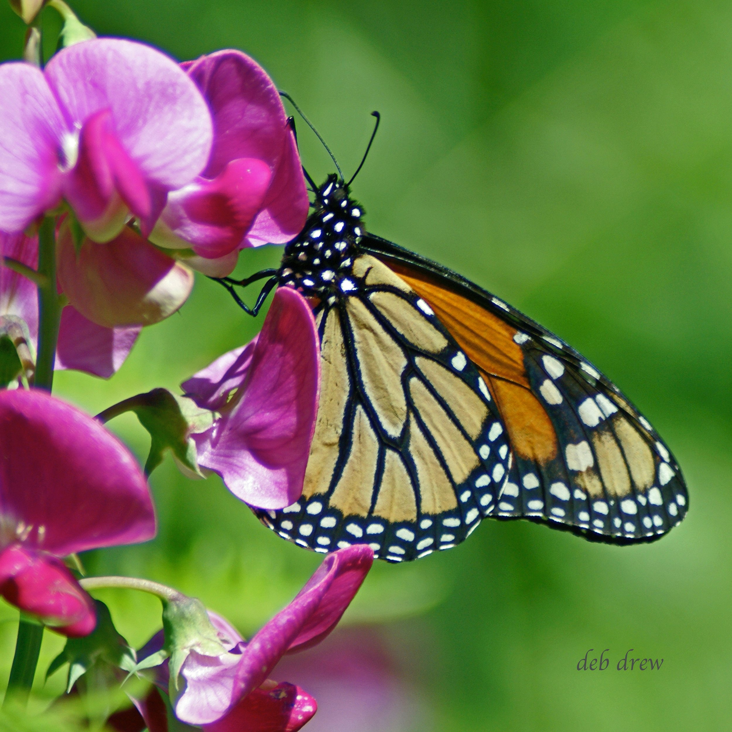 Butterfly Monarch (1).jpg