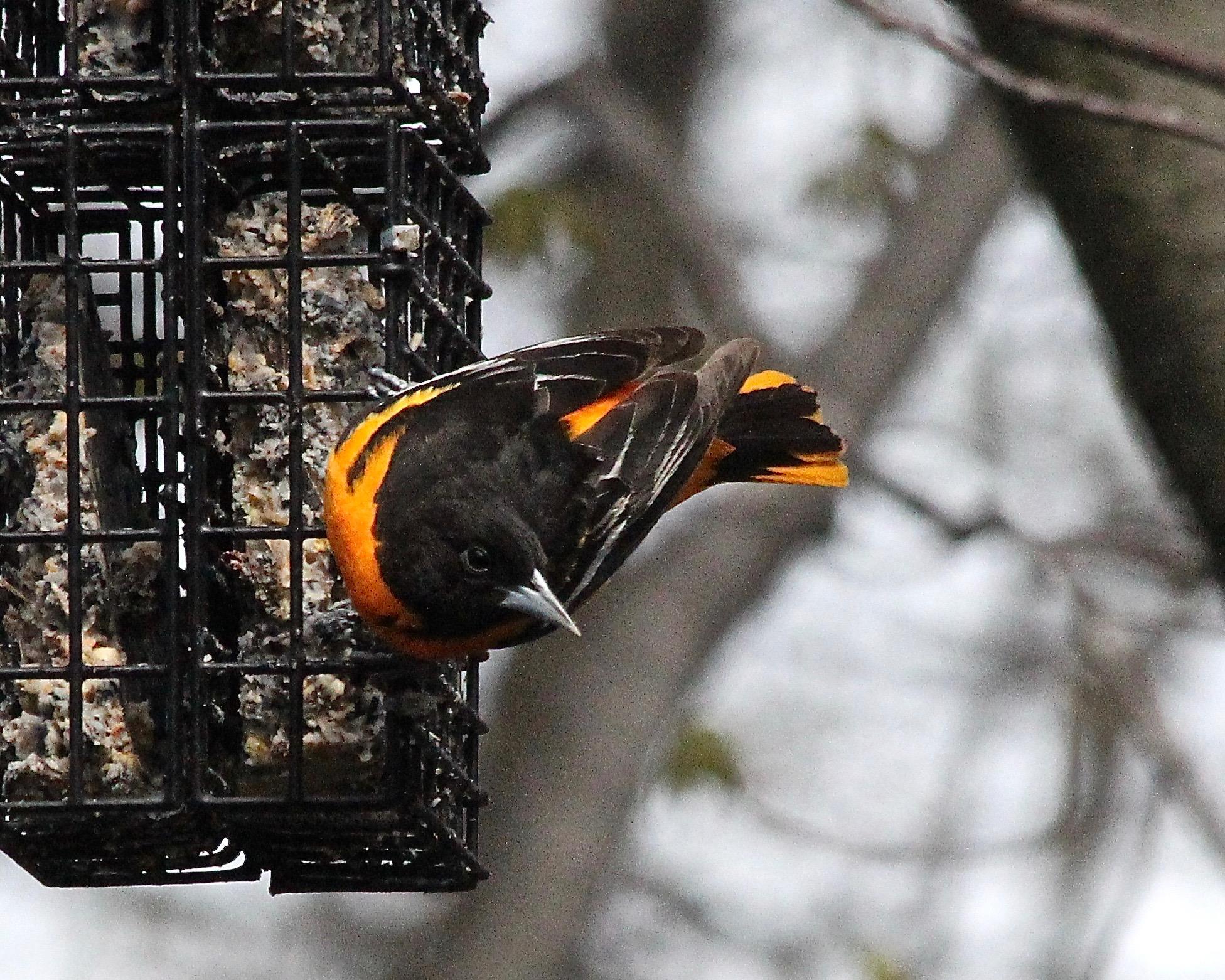 Bird Baltimore Oriole IMG_0100 - Version 2.jpg