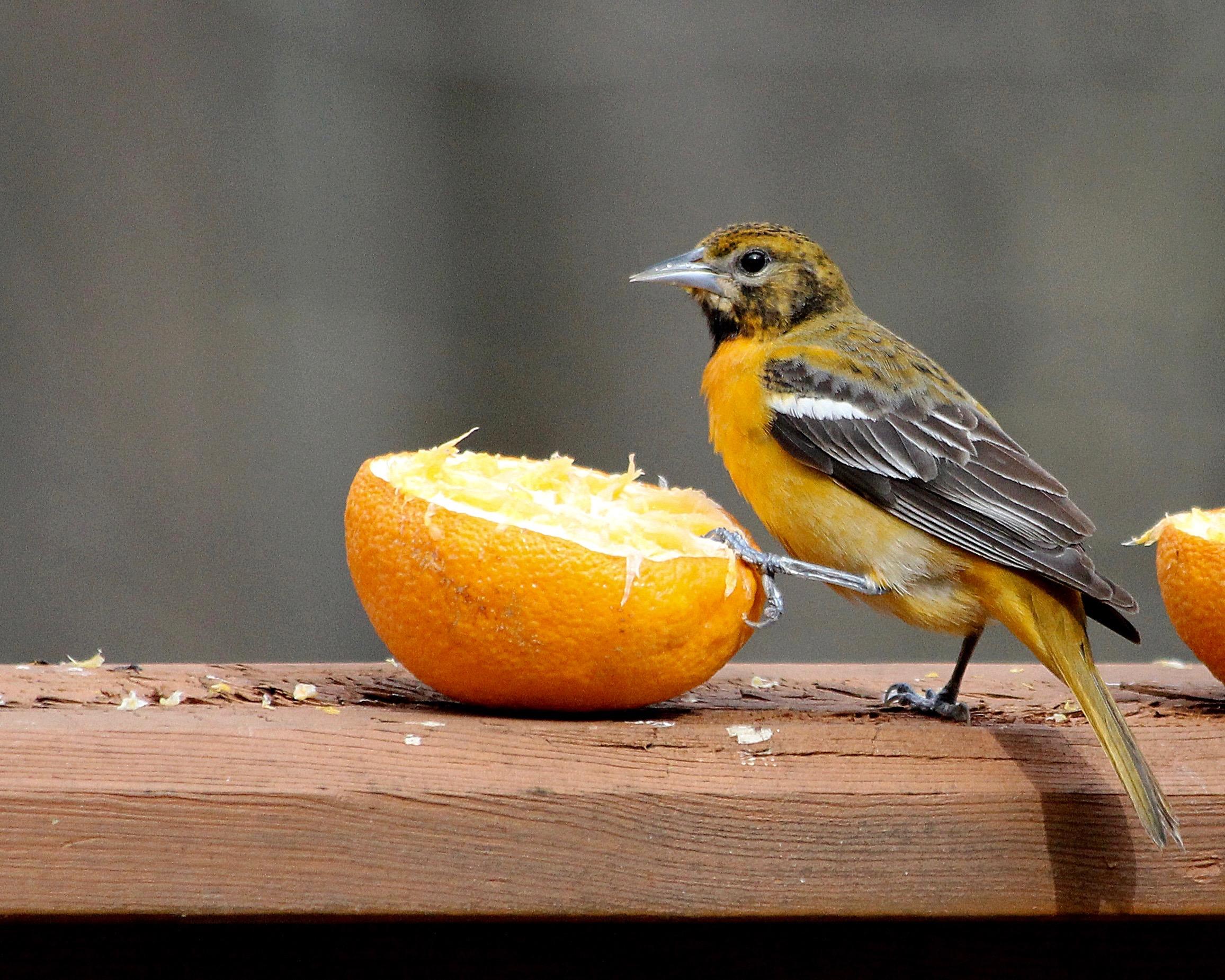 Bird Baltimore Oriole – Version 5.jpg