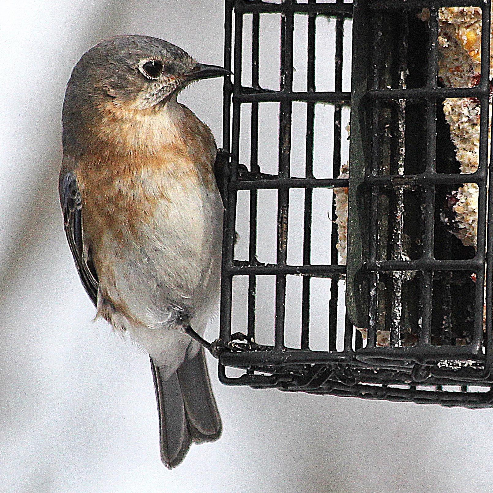 Bird Bluebird – Version 2.jpg