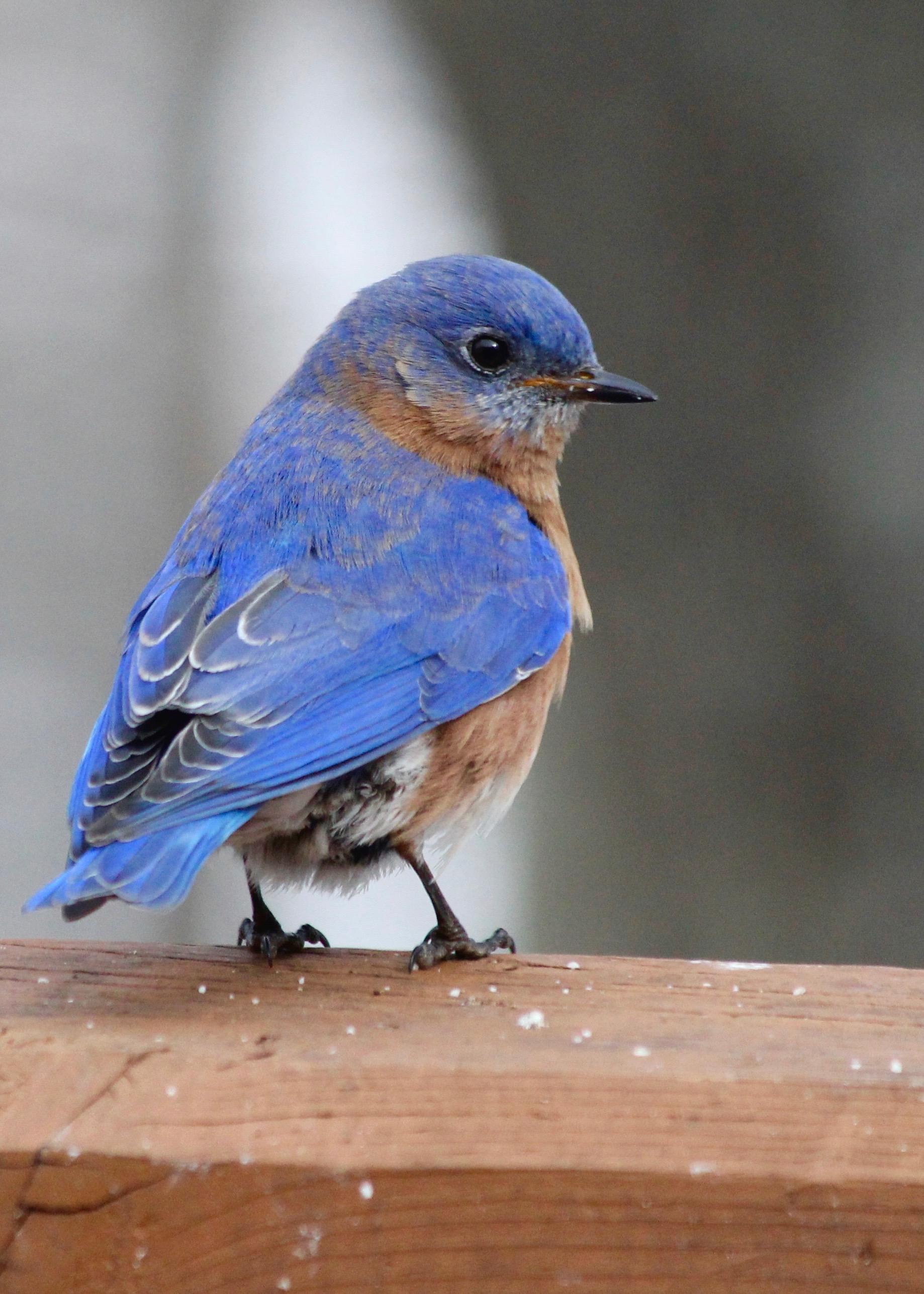 Bird Bluebird by Deb Drew Brown – Version 3.jpg