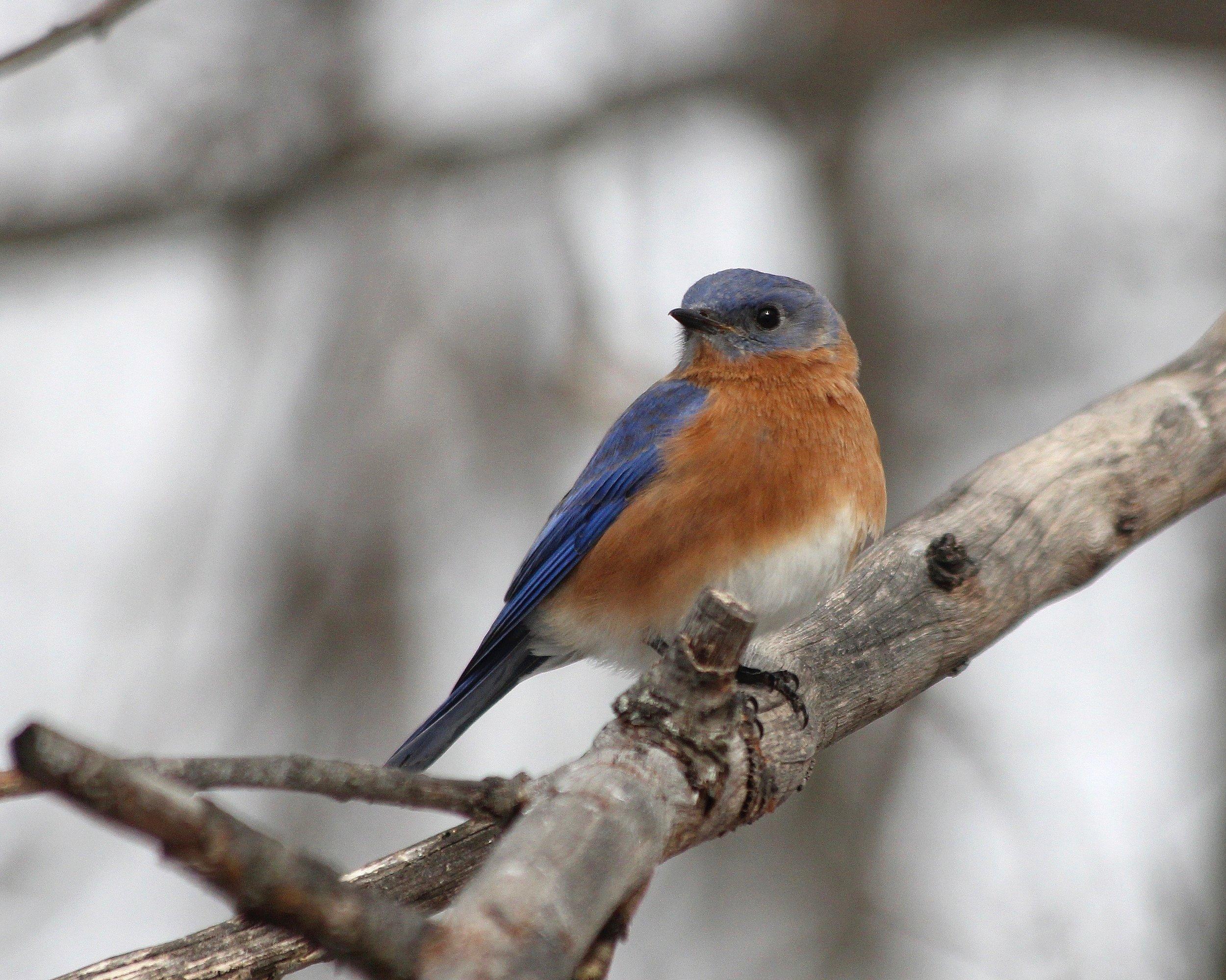 Bluebird-male