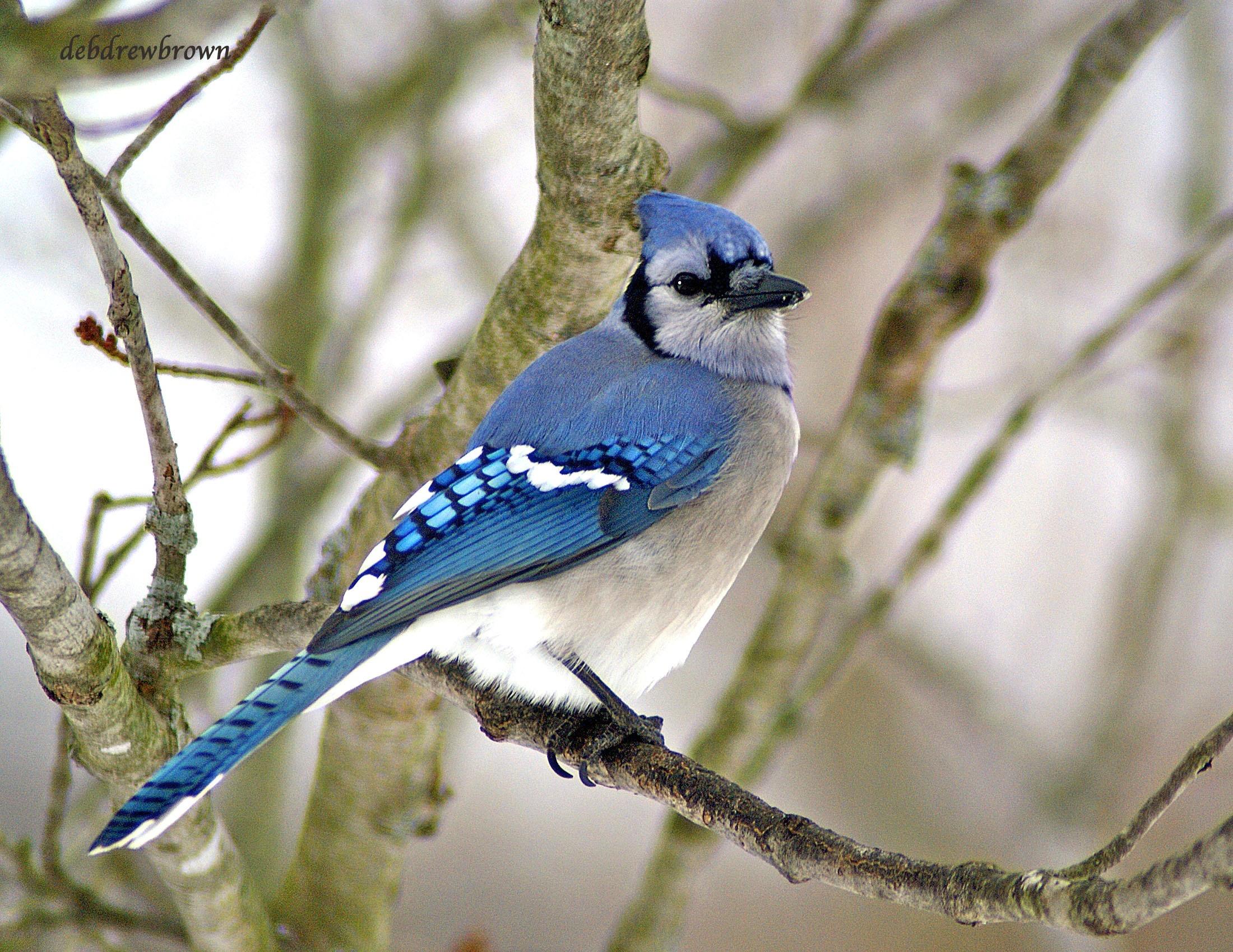 Bird BlueJay Male DSC08251.jpg