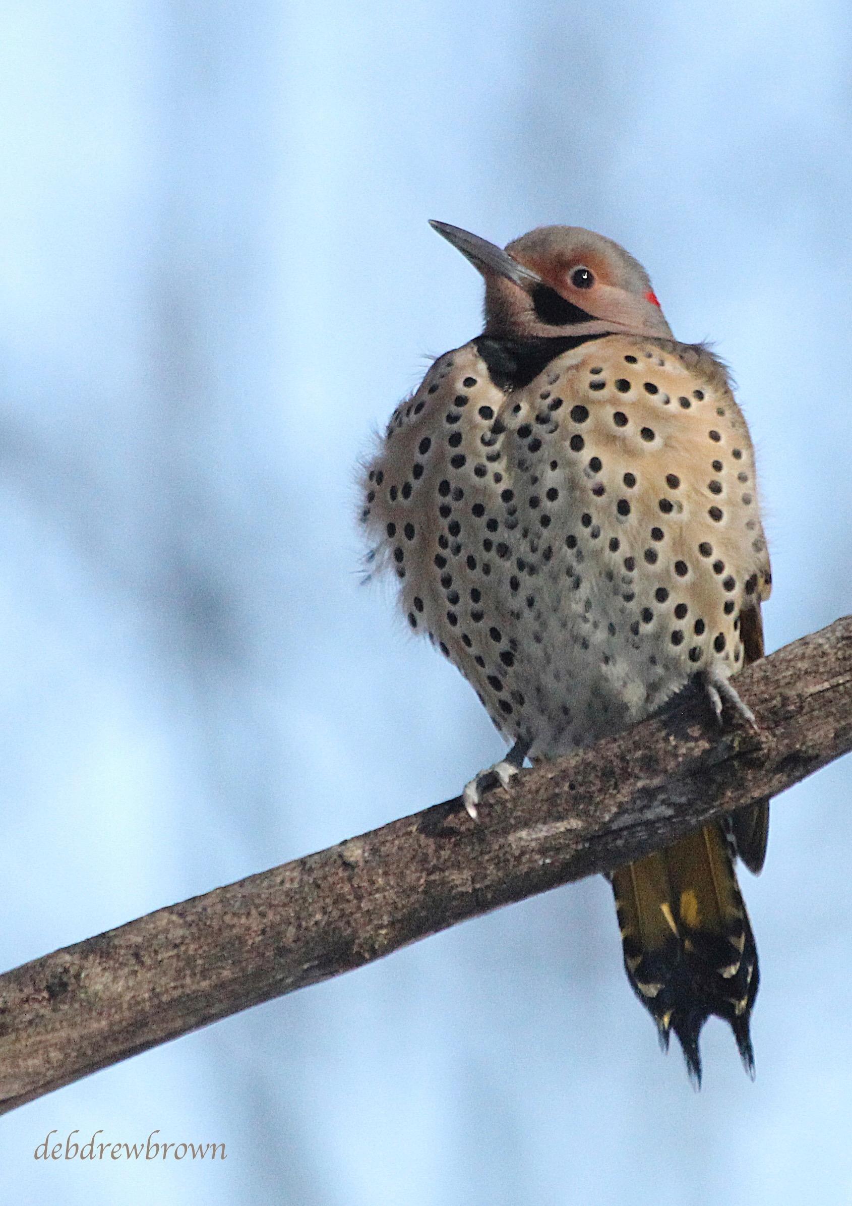 Bird Flicker Woodpecker IMG_1126.jpg