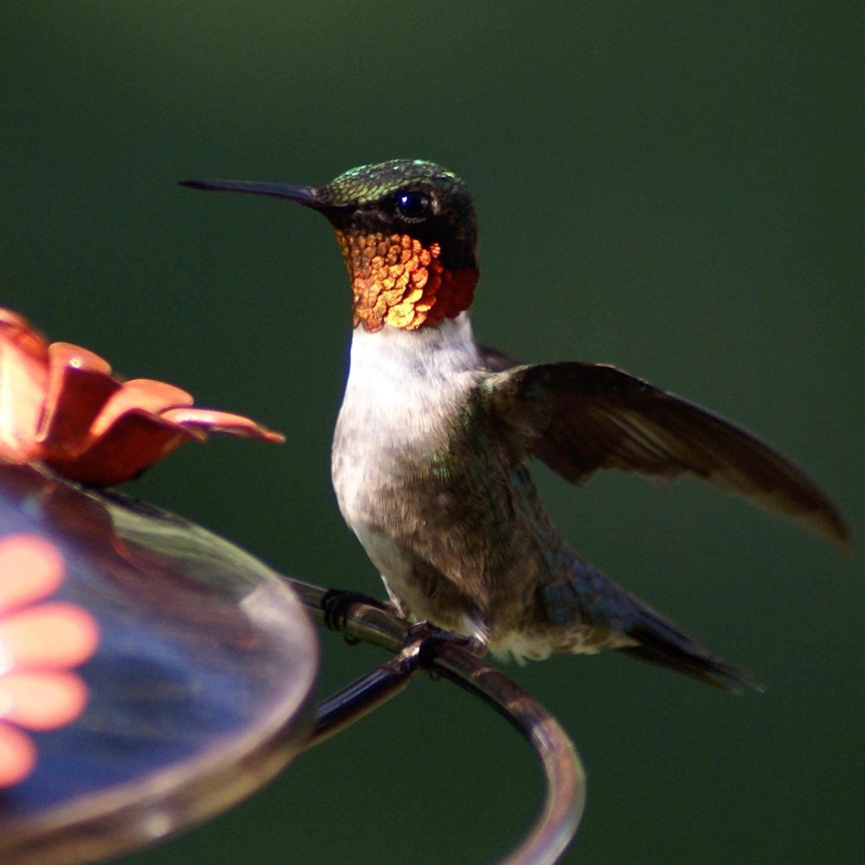Bird Hummingbird – Version 2.jpg