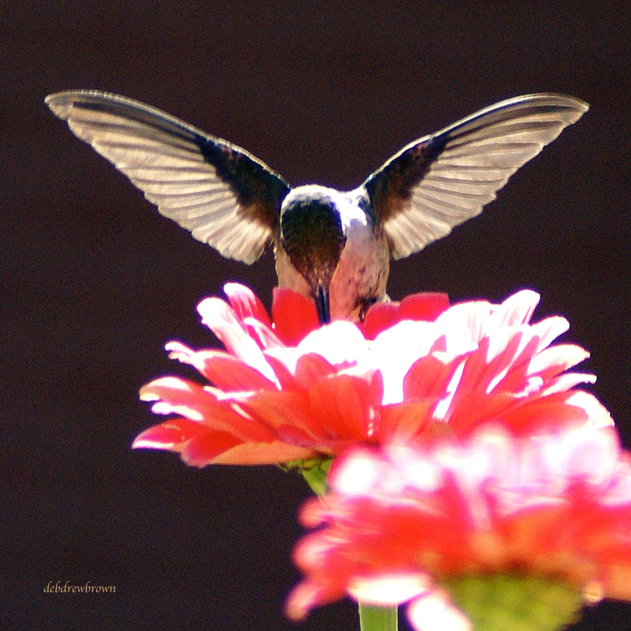 Bird Hummingbird.jpg