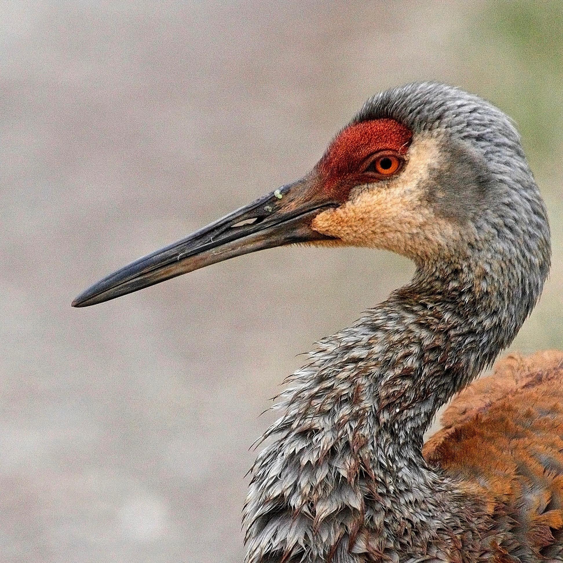 Bird Sandhill Crane.jpg