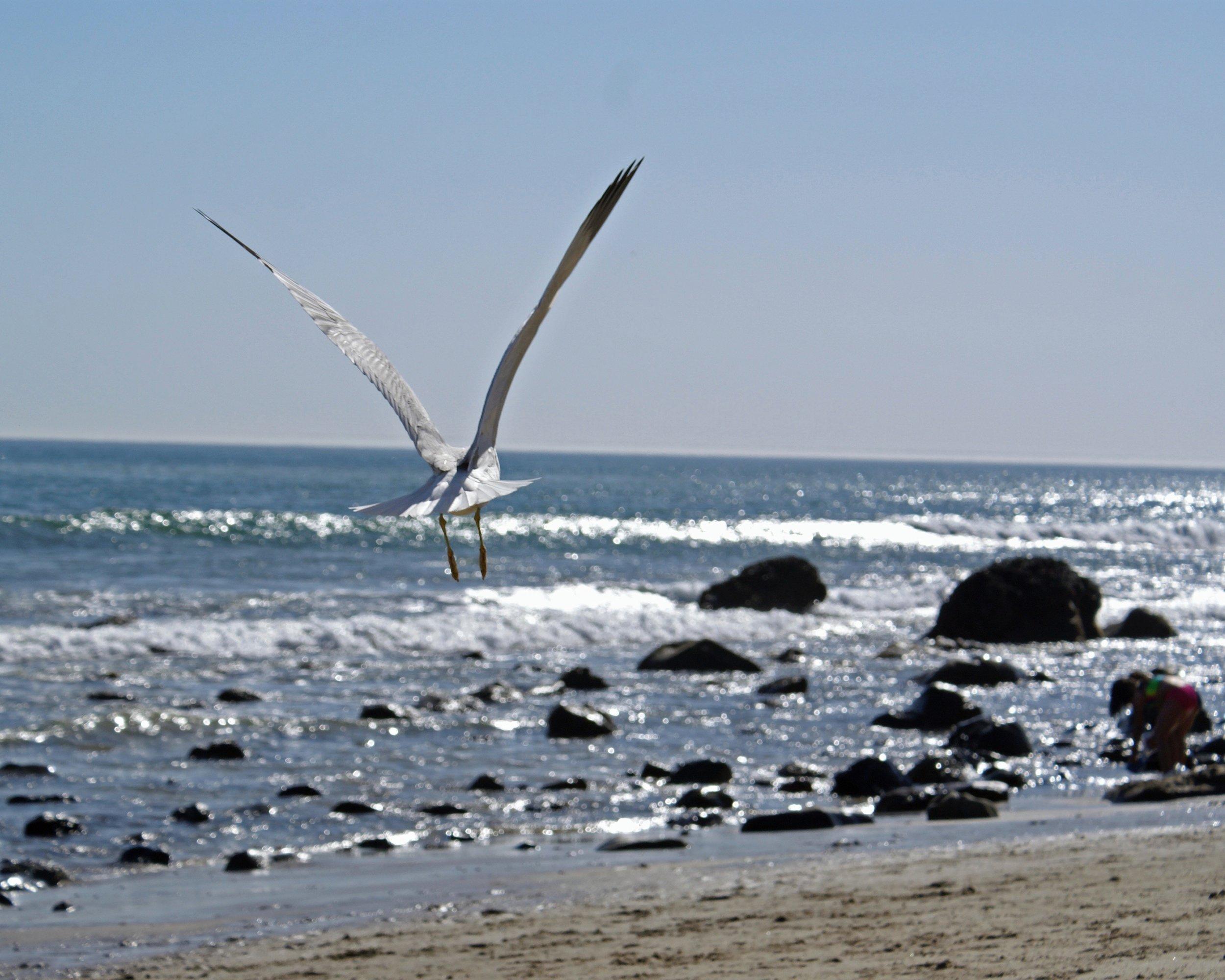 Bird Seagull 1.8MB DSC08989.JPG cropped copy.jpg