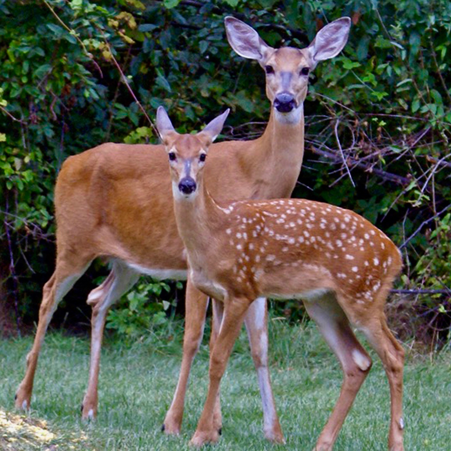 Deer Doe and Fawn Posing 11x8 – Version 2.jpg