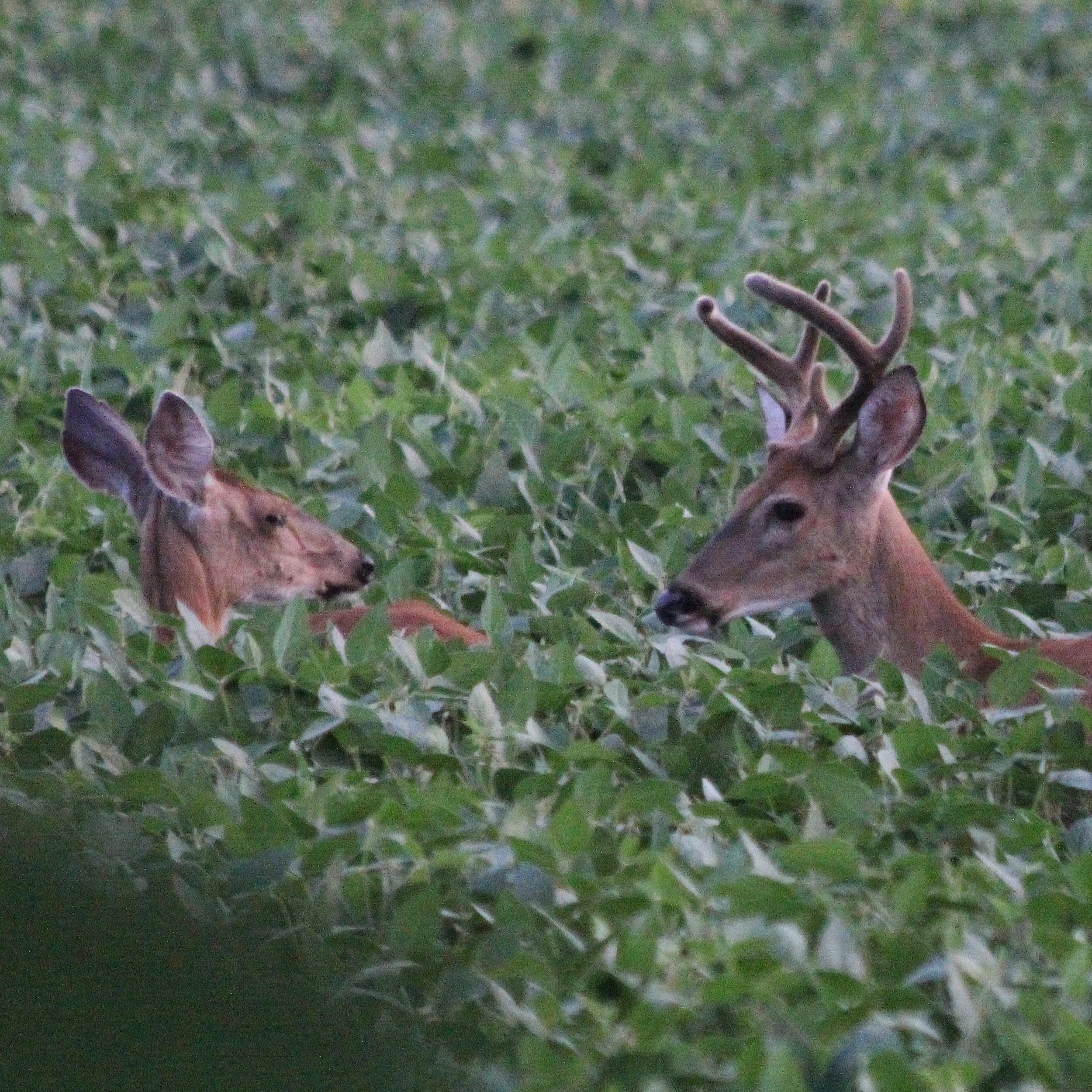 Deer Field Buck IMG_1704 – Version 2.jpg