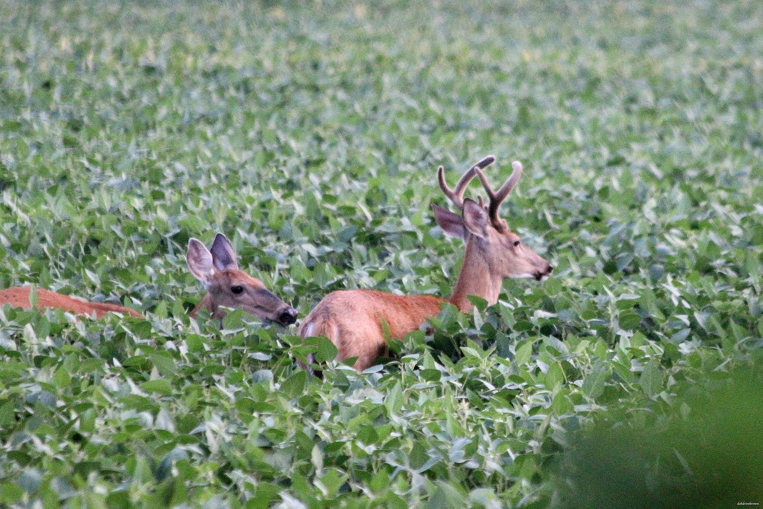 Deer Field Buck IMG_1707.jpg