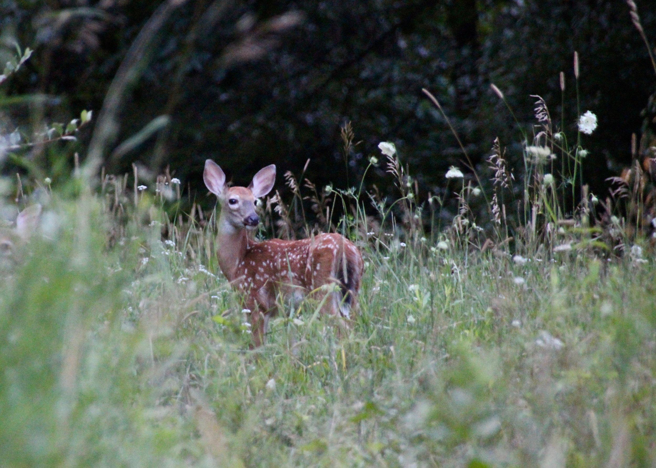 Deer (7).jpg