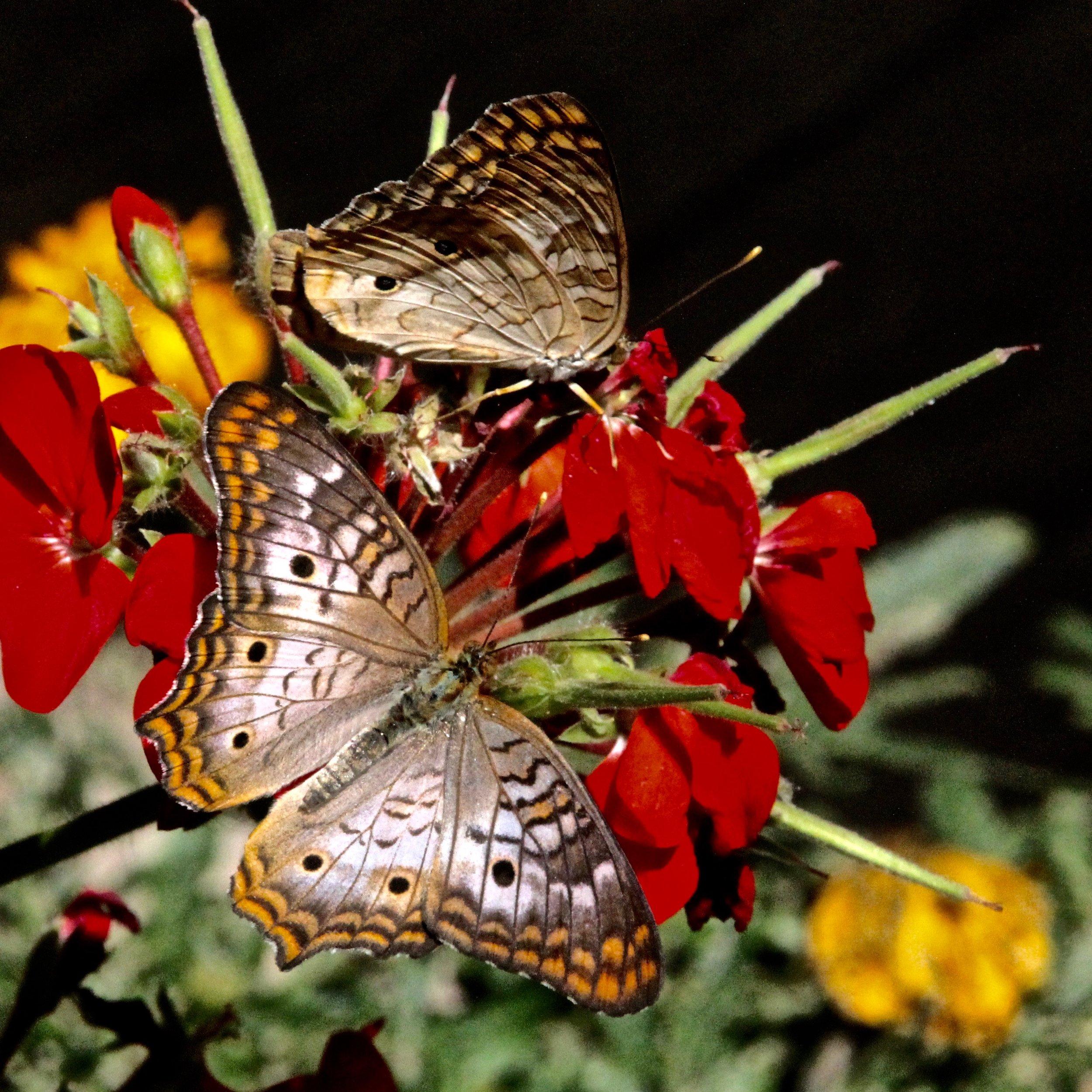 Butterfly (1).jpg