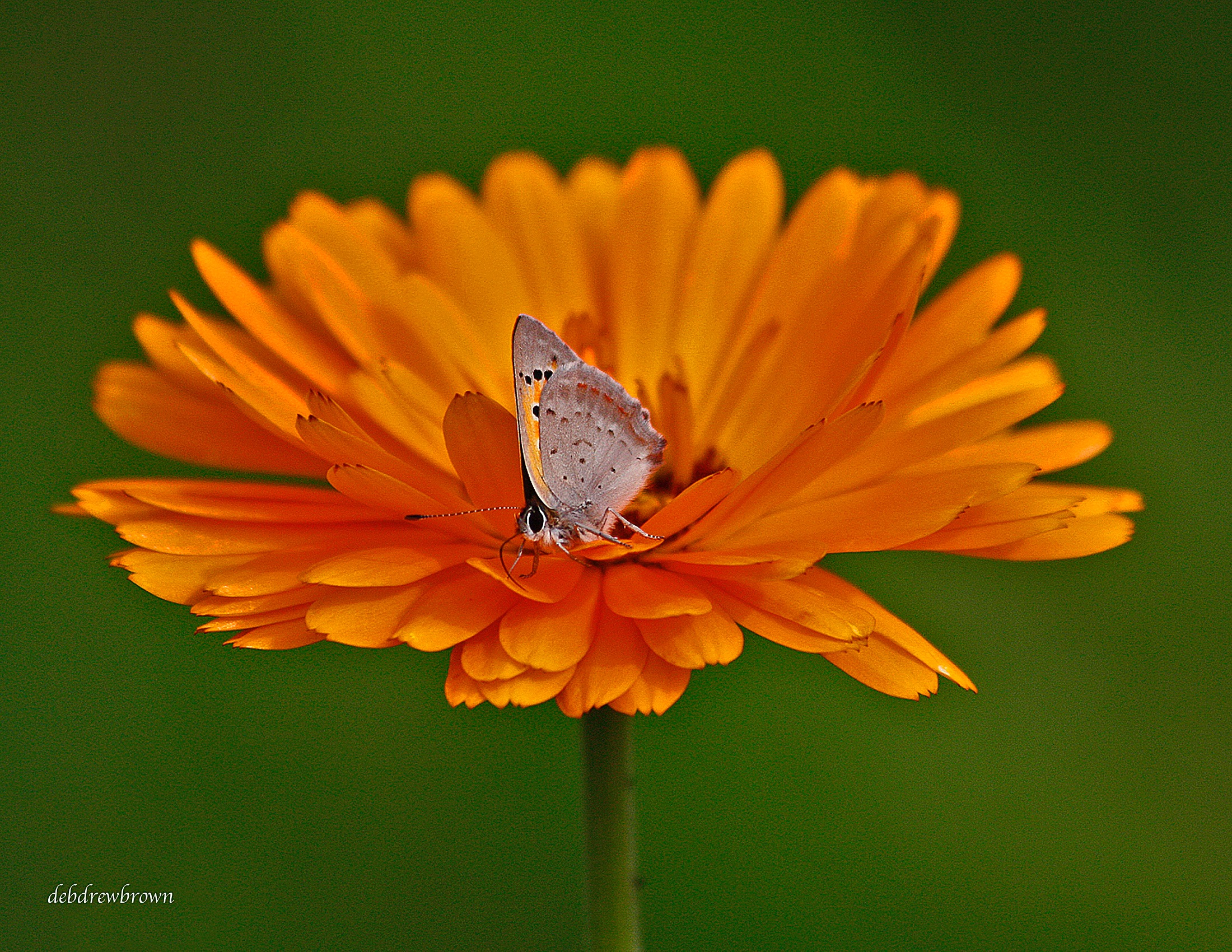 Butterfl Mies Moth on Orange flower Sweden _MG_7310.jpg