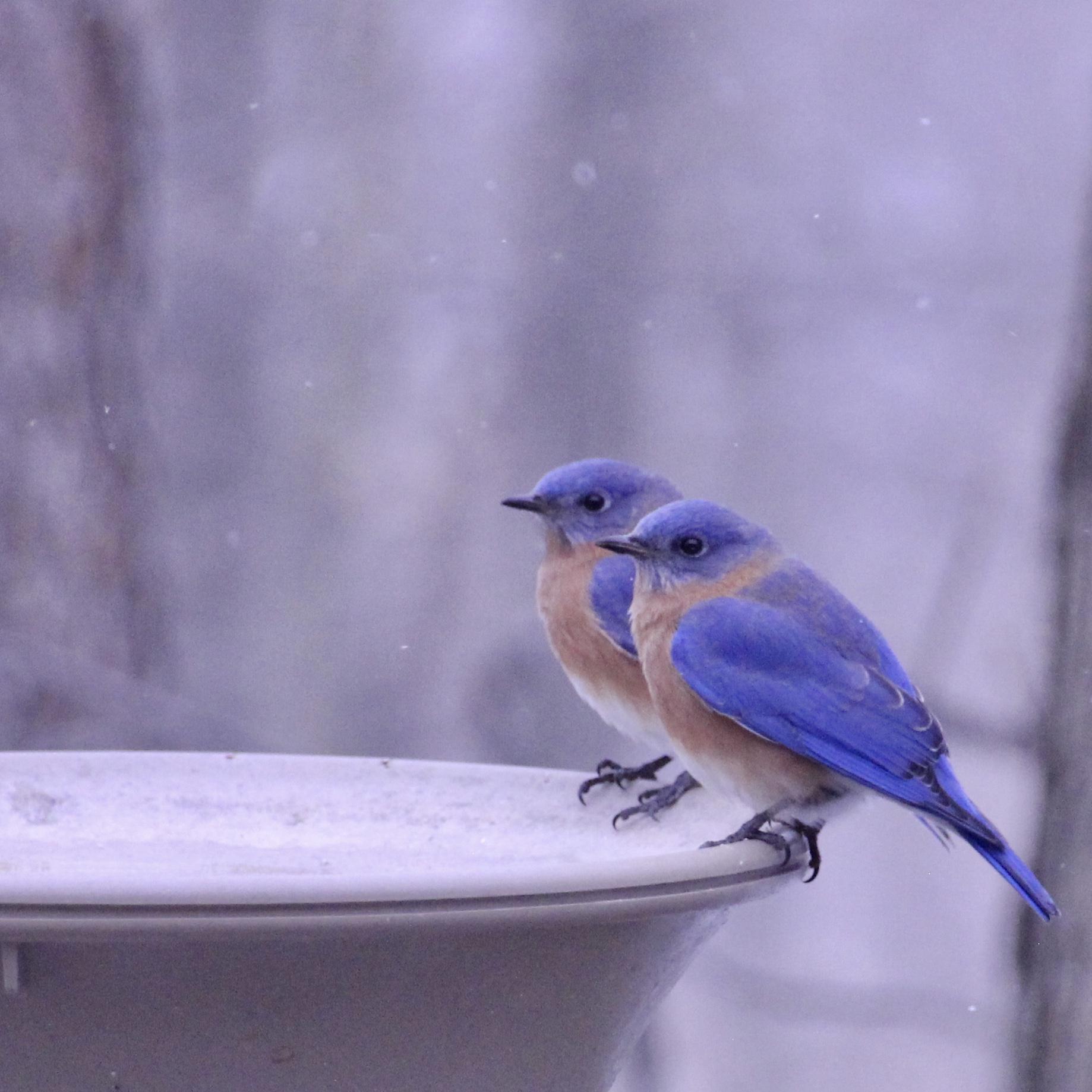 Bluebirds-males