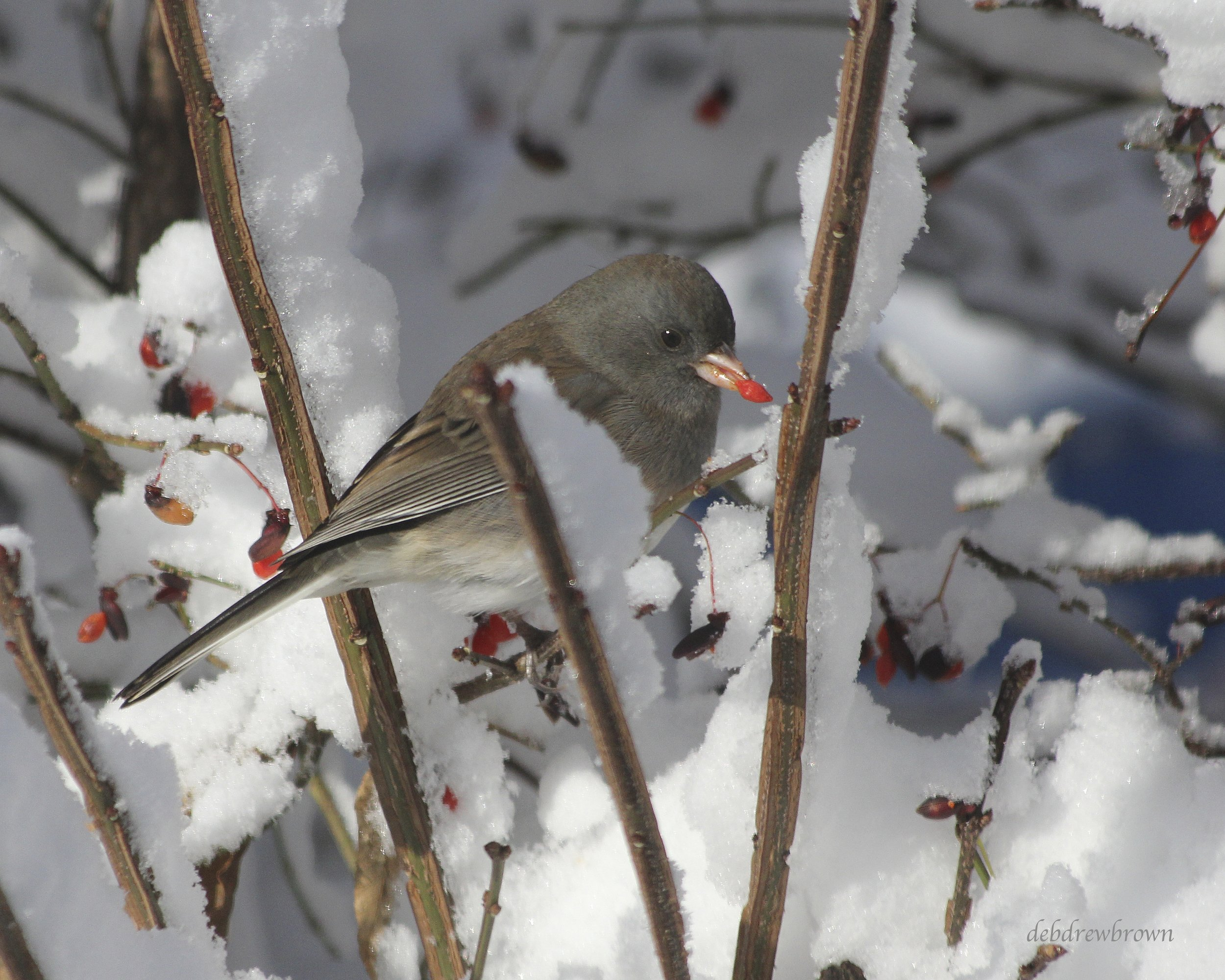 Bird junco a with Berry 2011 IMG_6239.jpg
