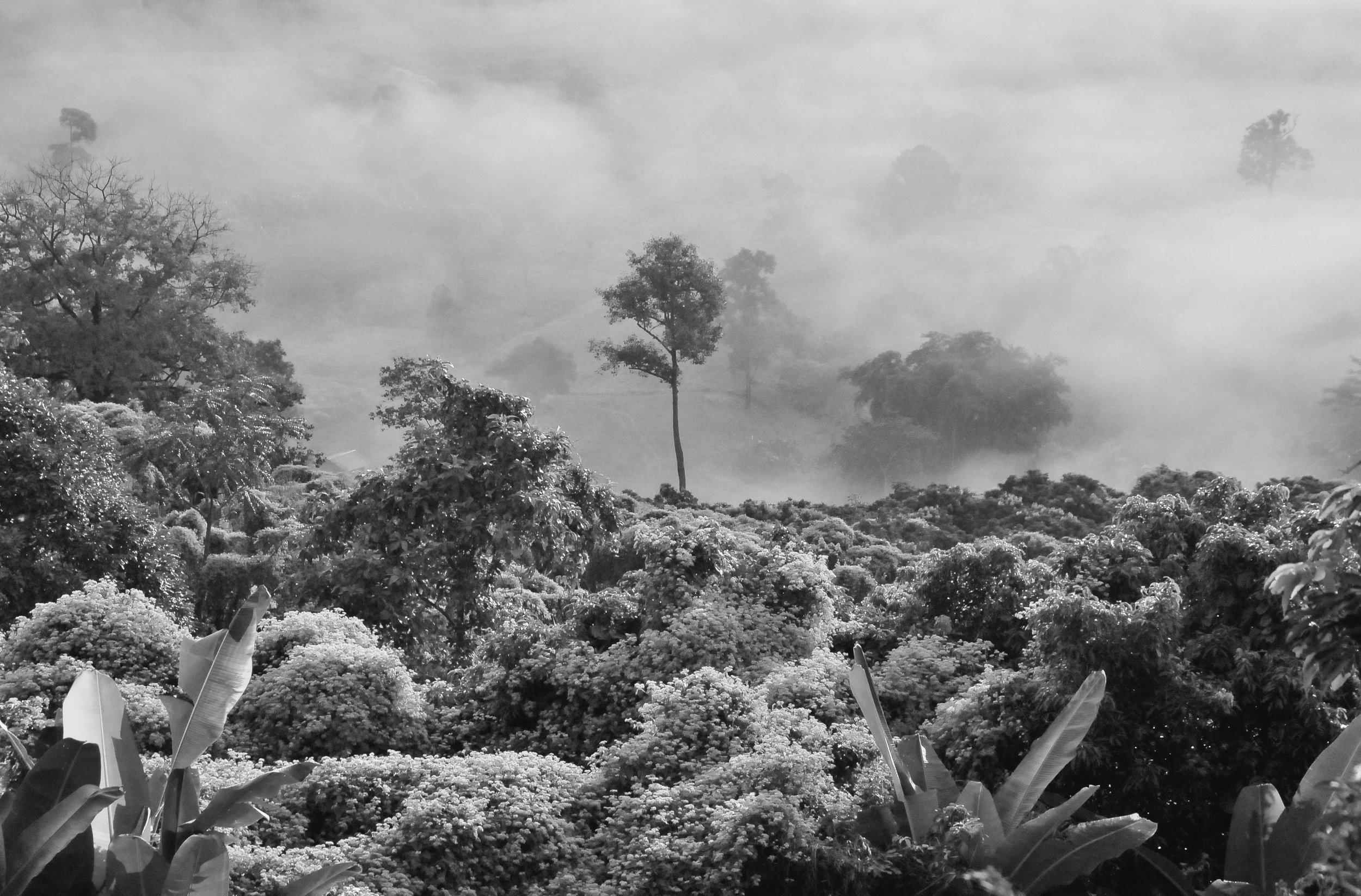 A rainforest shrouded in mist