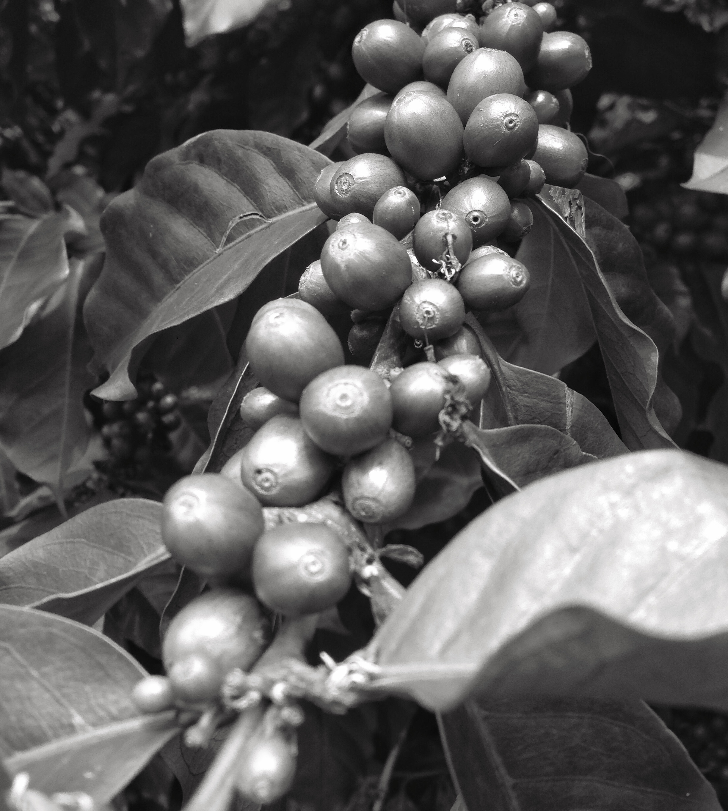 Coffee cherries ripening on a branch