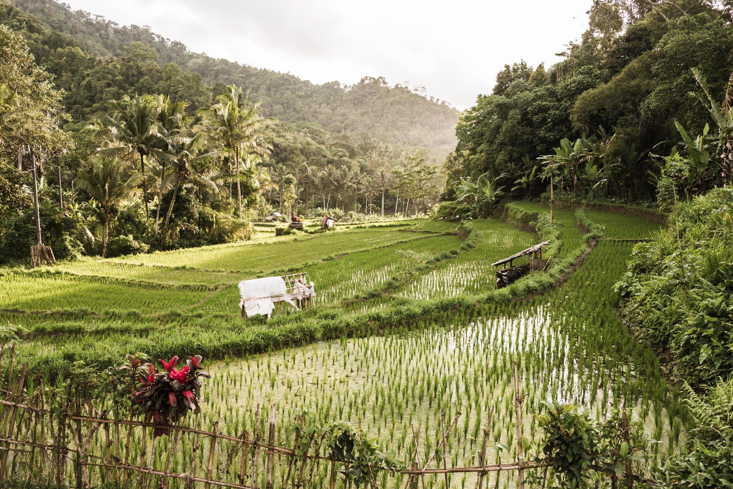 Rice Field Sidemen Bali