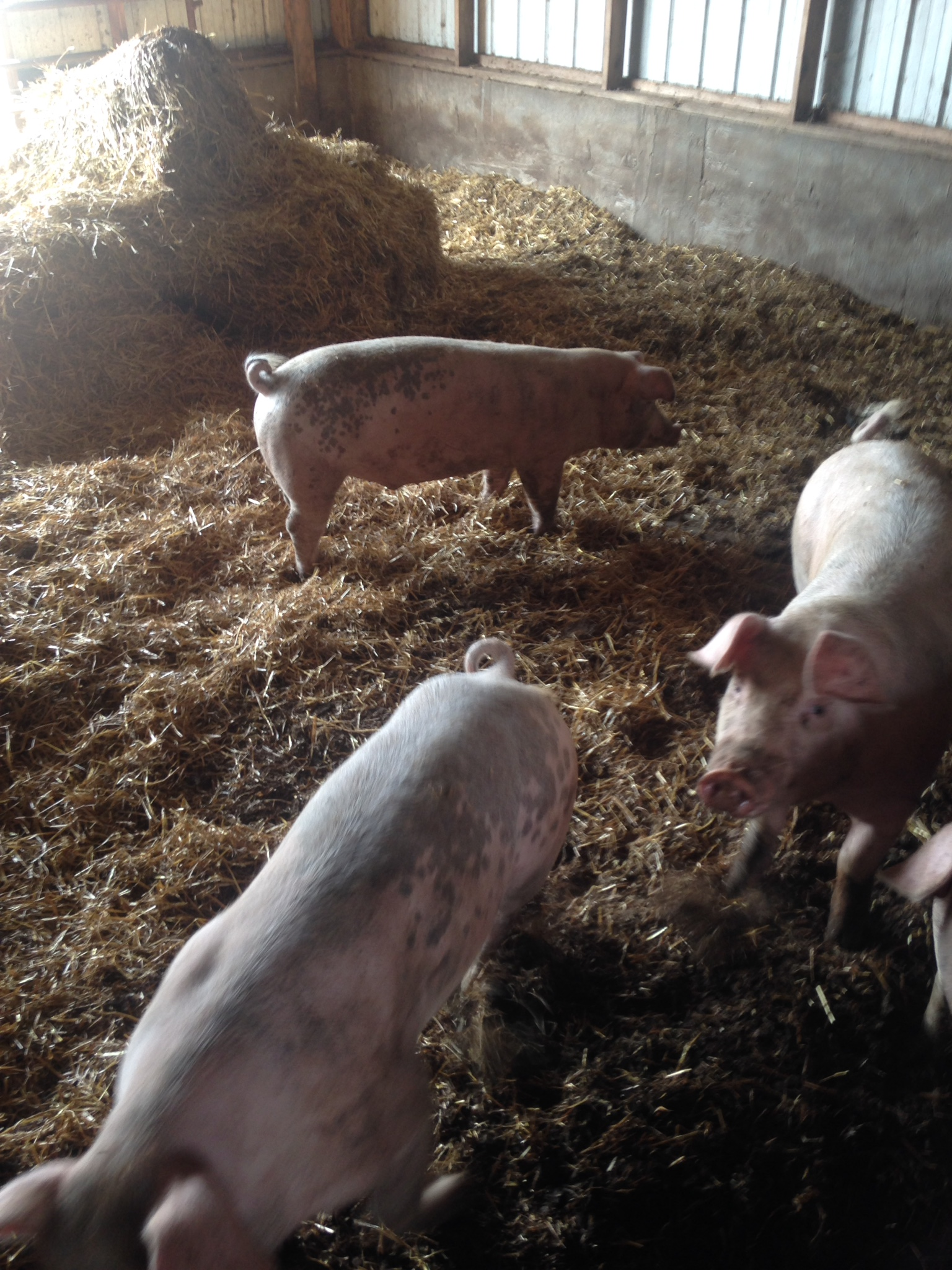 Whey Fed PorkOur hogs are fed whey, leftover from cheesemaking.Whey is a great source of protein for hogs and makes very healthy meat.They are also fed non gmo grains that we grind ourselves. -
