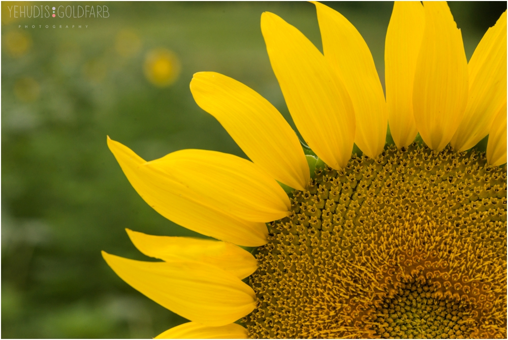 Sunflower Mini Sessions, Yehudis Goldfarb Photography