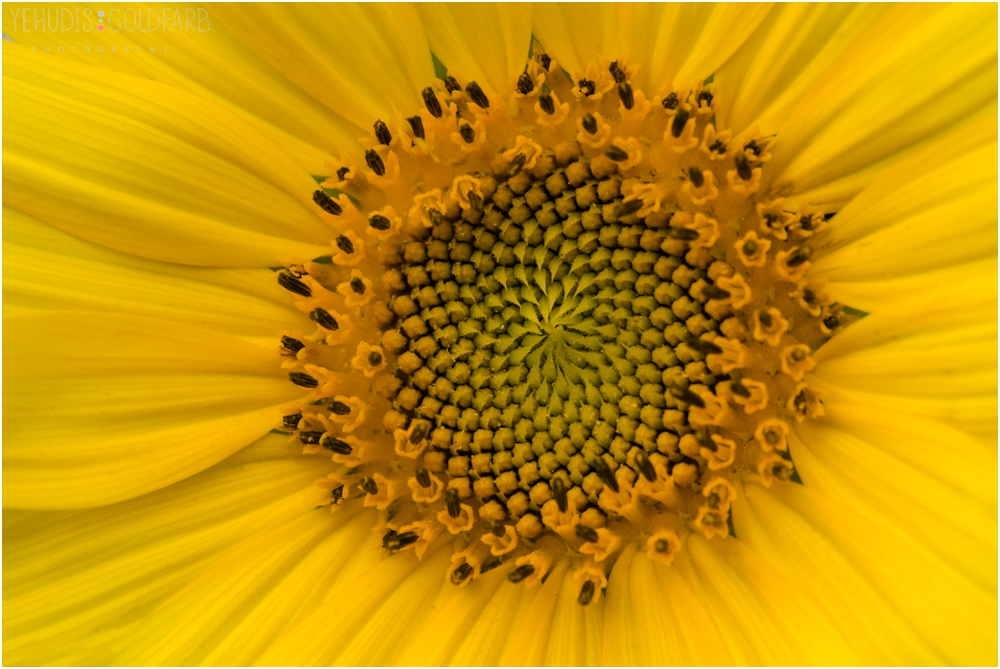 Sunflower-Mini-Sessions-Yehudis-Goldfarb-Photography_0006