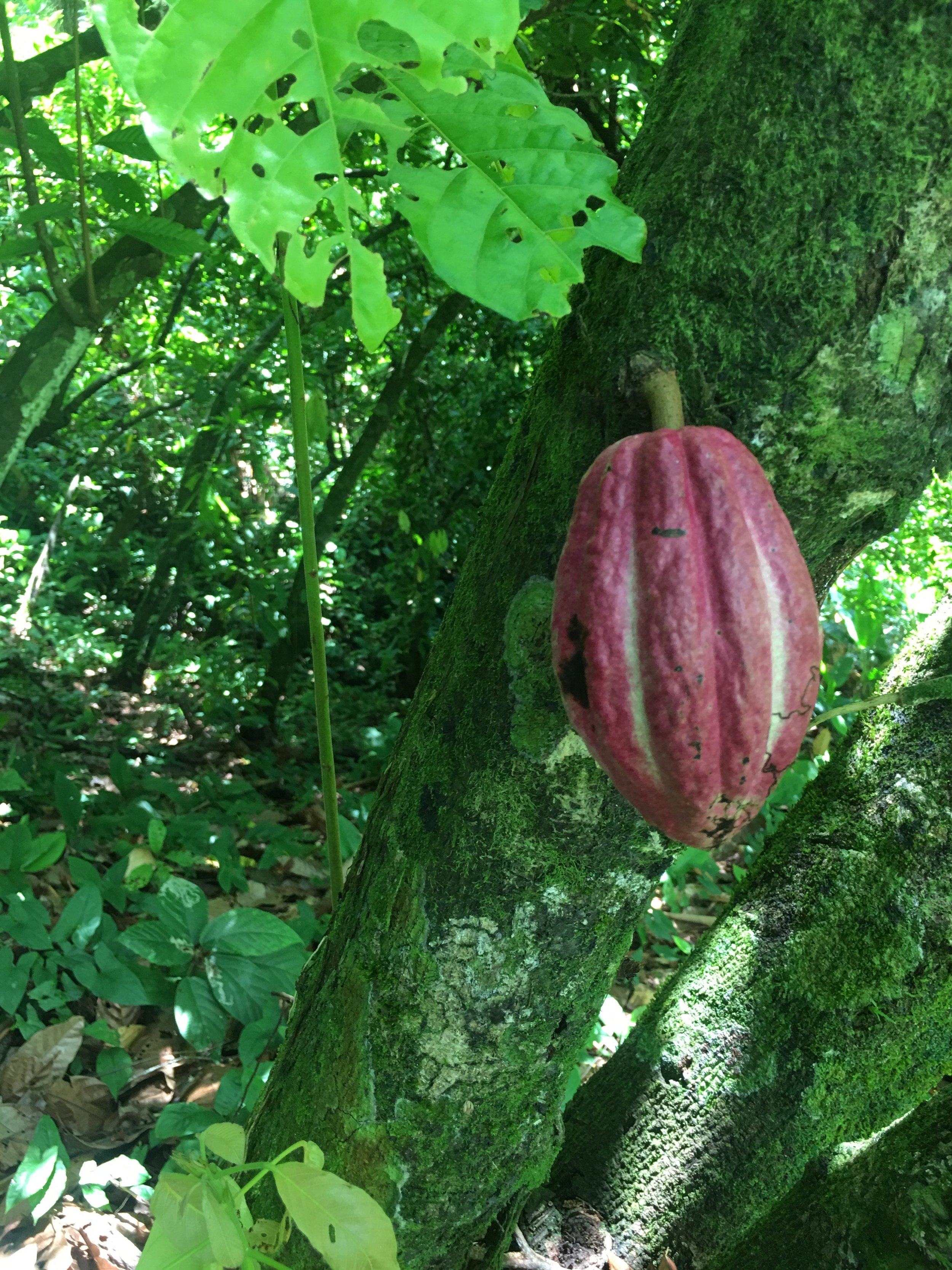 Cacao pod on tree in Isla Bastimentos, Bocos del Toro, Panama at Up in the Hill organic farm