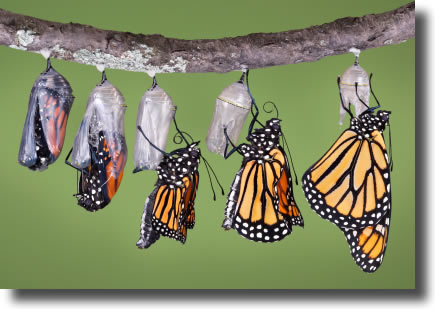 butterfly_emerging.jpg