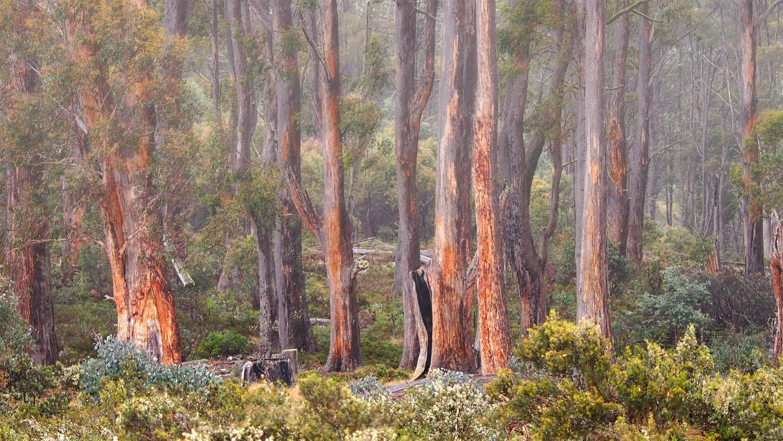 - High Country Eucalypts - by Paula McManus FAPS