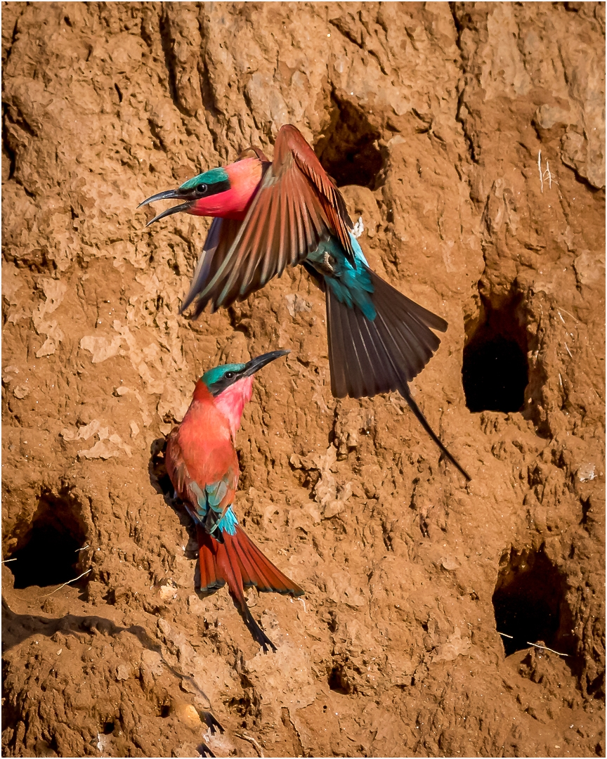 Top Nature Projected Image by Geraldine Riggs – Southern Carmine Bee-Eater