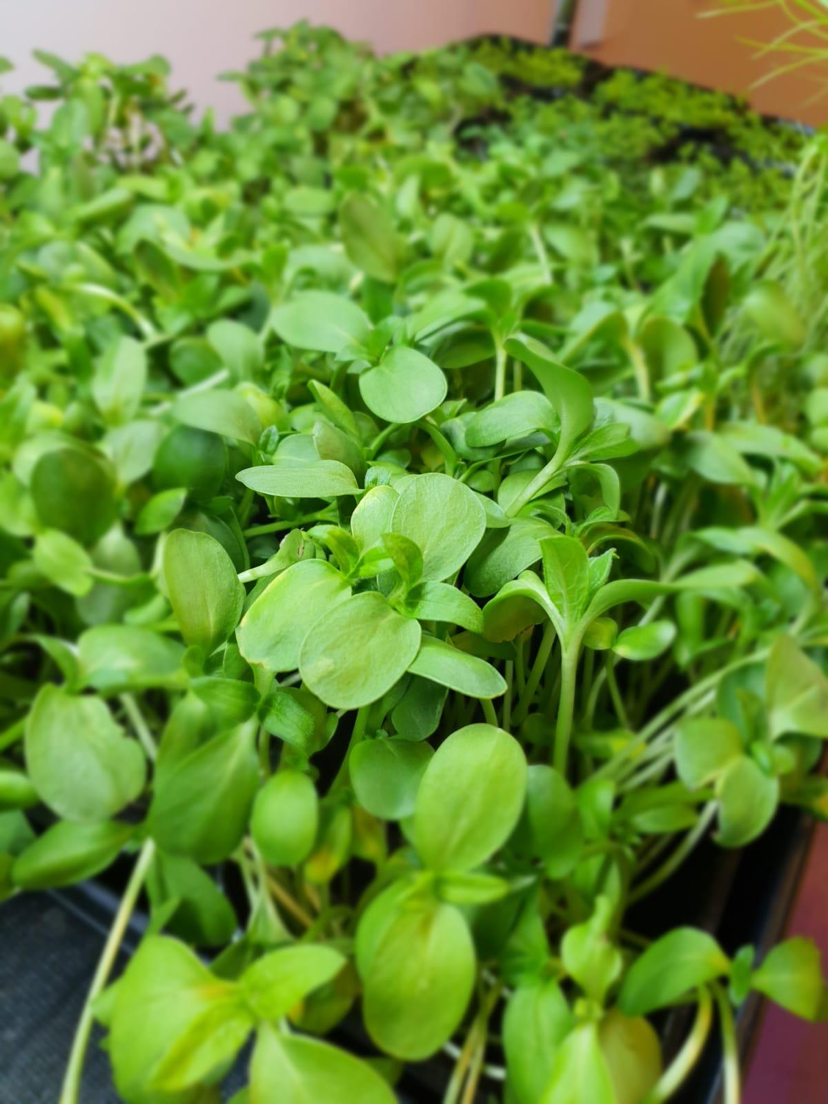 Sunflower microgreens