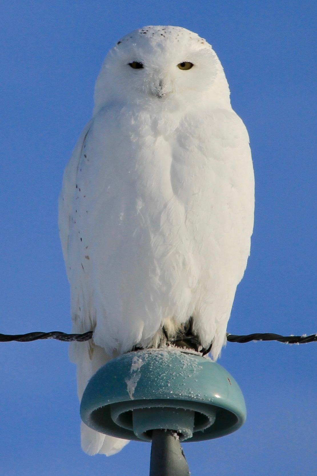 Hedwig aka Snowy Owl ( Bubo scandiacus ) in Camrose, Alberta/Treaty 6 territory. Photo by Anelyse.