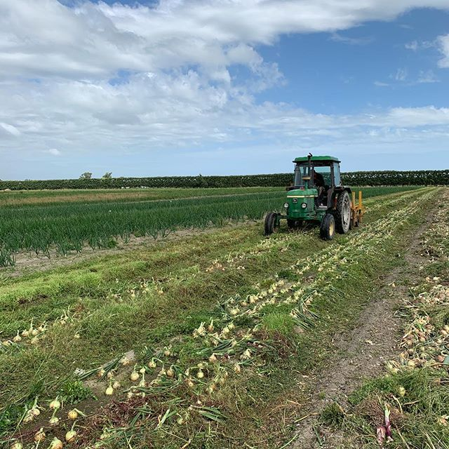Started to lift some new season onions today. The weather is in our favour for a change. #redonion