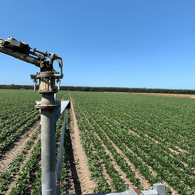 Pulling out the irrigator on our Watties beans today. The hot weather has meant these are after some water to help them grow. #beans 🌱💦🚜