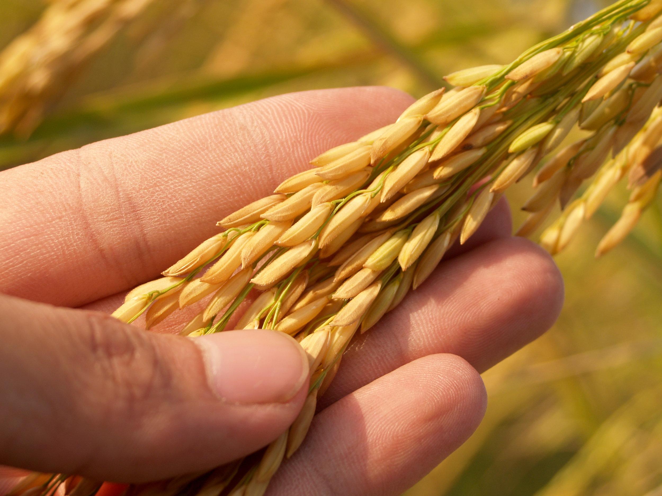 3 Wheat in Hand.jpeg