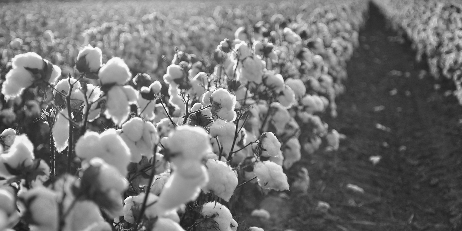 cottonfield b2.jpg