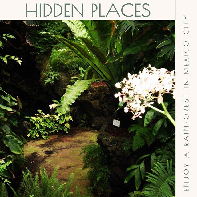 "HIDDEN PLACES 👉🏼 versión en español @nataliacabarga  In the south of #ciudademexico is a greenhouse with a tropical rainforest that was built inside a volcanic well. This happened in 1959, when the National University of Mexico, UNAM, was recently inaugurated.  Scientists and students were part of this project. They collected varied species, all under the idea of the botanist Faustino Miranda, for whom this place takes his name. He, finding a volcanic well formed in this area, thought that this would be the best place to create a greenhouse with a rainforest. And so it was because even today, turning 60, you can visit and leave anyone amazed by the thickness of its green foliage, the winding roads built on volcanic rock that take you to small caves. Walk and find ponds of lilies, palms 🌴 everywhere, see the volcanic rocks dressed in varied ferns, such as the arborescent tree that grows in a spiral, orchids hanging at the entrance, and species such as ceiba (sacred tree for the Mayan culture), the guava tree, the vanilla, the coffee tree, the chocho (tree covered with thorns), the carnation with its flowers in the form of hairs (in Mesoamerica it was called xilochóchitl, or 🌽 cornflower, for its resemblance to the hairs of corn), the elephant leg 🐘, among many others, that get lost in the green that closes in the eyes of those who look up. I recommend you visit it and enjoy its humidity, species and the feeling of being in a rainforest away from the City.  This space is another headquarters of the Botanical Garden of the UNAM, located at the other end of C.U. ""FAUSTINO MIRANDA GREENHOUSE"" LOCATION: UNAM School Circuit, Between the Tower of Engineers and IIMAS SCHEDULES: Monday to Friday, 9:00-15:00 * Opens during school period. 🎫 Free admission Tel .: 5622-9047 / 9063 * Guided tours with reservation 🚌 Pumabús routes 6, 8, 9, and 12  #recorridosconhistoria @recorridosconhistoria  #visitmexico #cdmx #quehacerencdmx  #timeoutmexico #mexicotravel #culturamexico #mexicocity #actividadesculturales #tequieromexico #cdmxcultura #conocemexico #disfrutamexico #viajapormexico #travelmexico #ciudaddemexico #mexicocity #CDMX #dondeir #visitmexico"