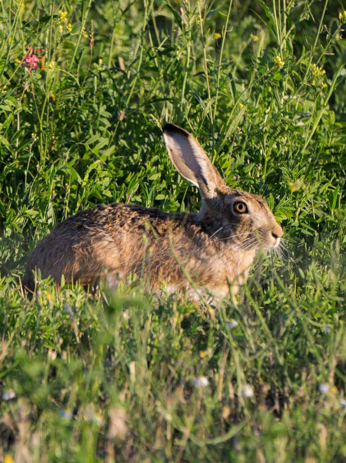 conejo-fuentes-duero.jpg
