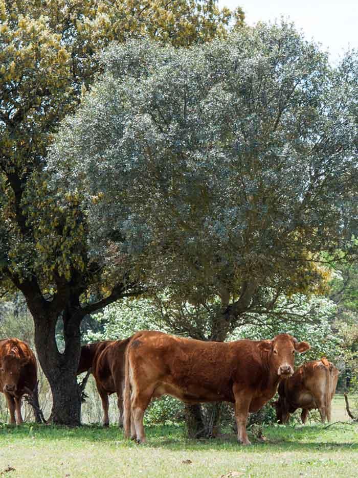 fuentes-vacas-tarsila.jpg