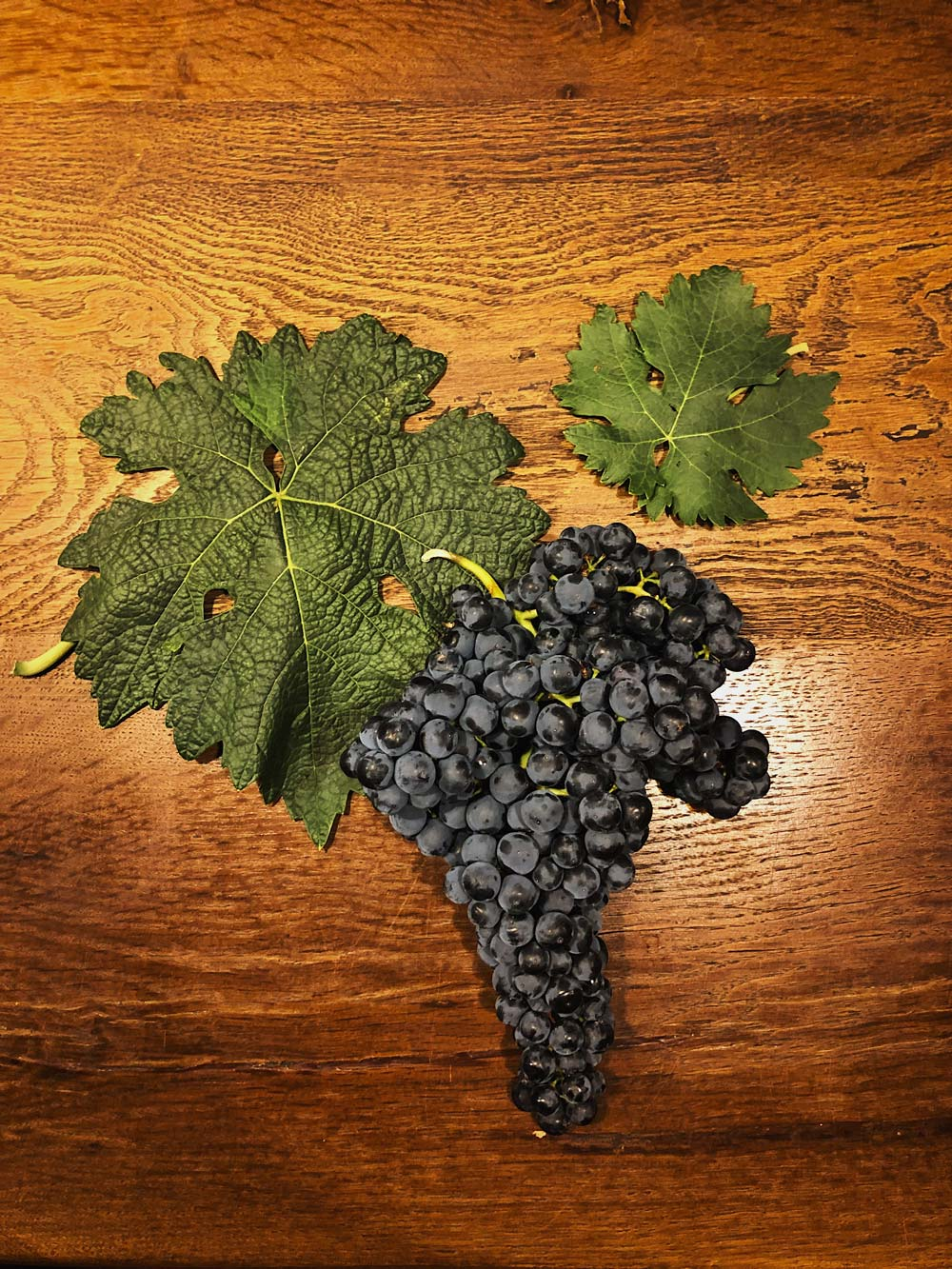Tempranillo cluster and leaf