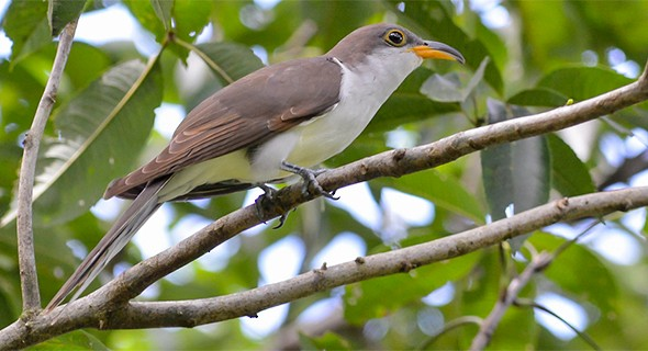 Ave Papa-lagarta-de-euler , Coccyzus euleri / Imagem por João Quental Site Neotropical Birds / The Cornell Lab of Ornitholog