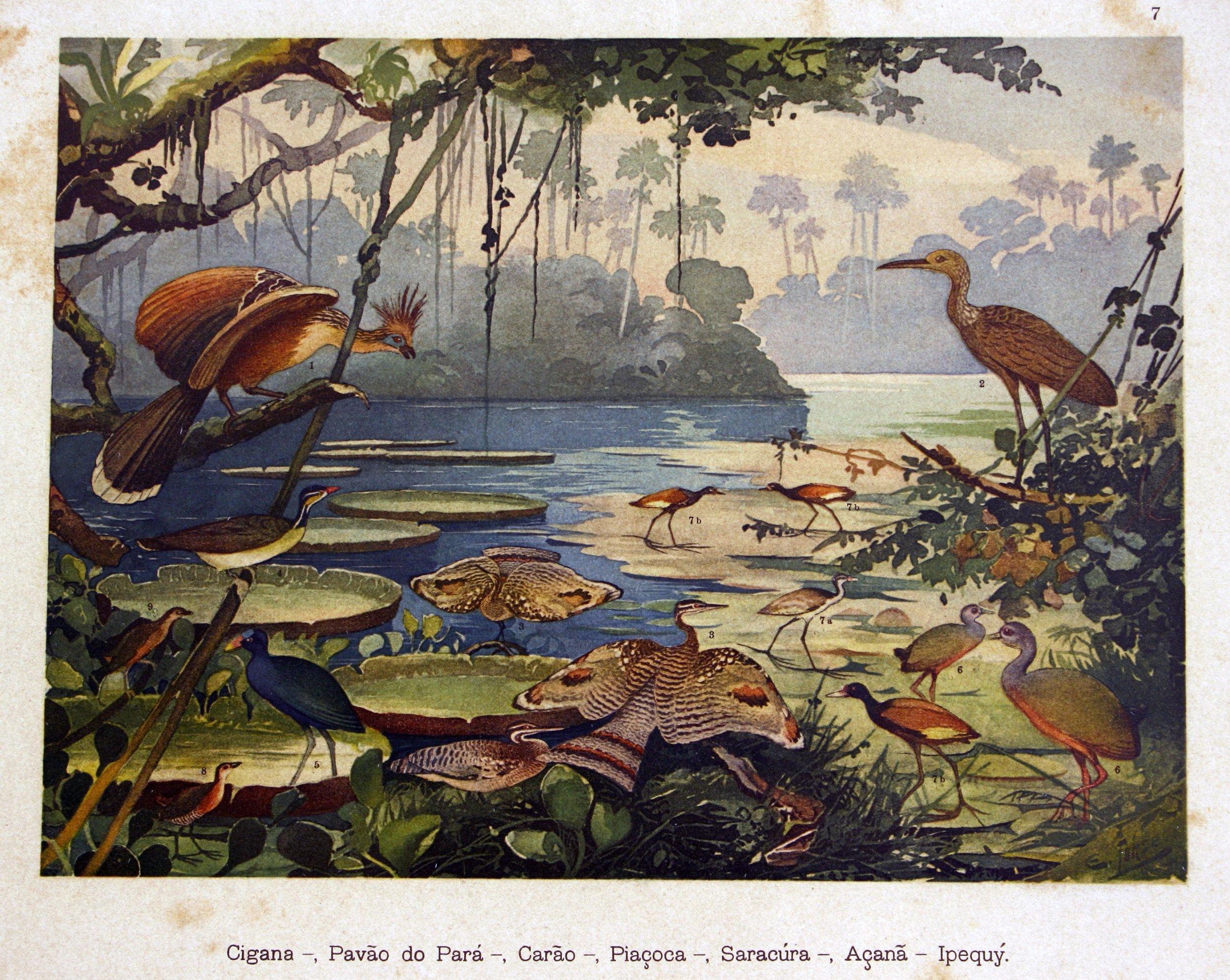"""Desenho de Ernst Lohse. Estampa 7 do """"Álbum de Aves Amazônicas"""", publicado por Emílio Goeldi, 1900 Acervo Museu Paraense Emílio Goeldi, Ministério da Ciência e Tecnologia, Governo do Brasil"""
