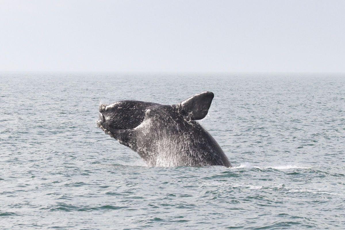 WF-Right-Whale.jpg