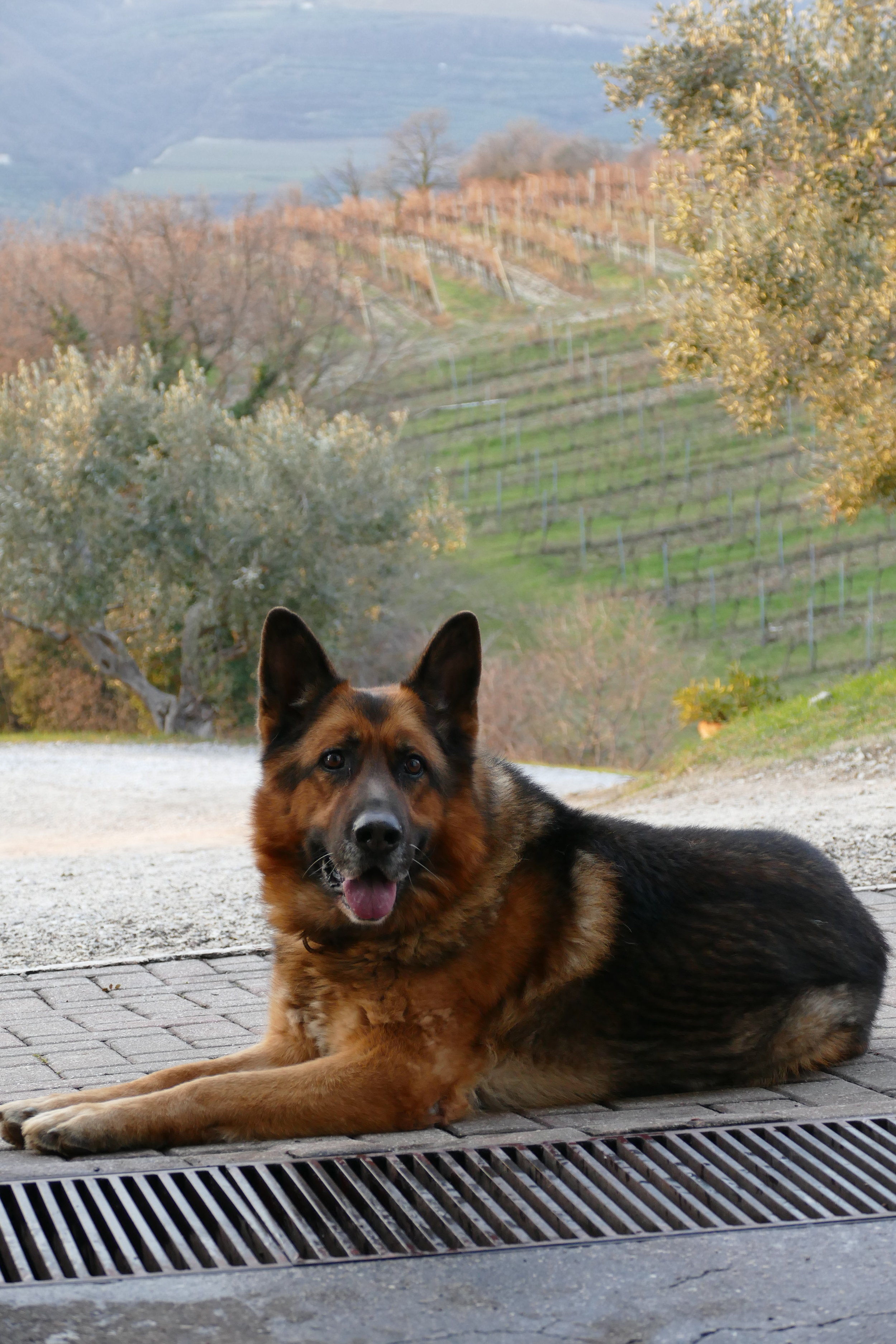 This is Simba. Unofficial Brand Ambassador at Azienda Agricola Corte Sant'Alda, high in the hills of Valpolicella. -