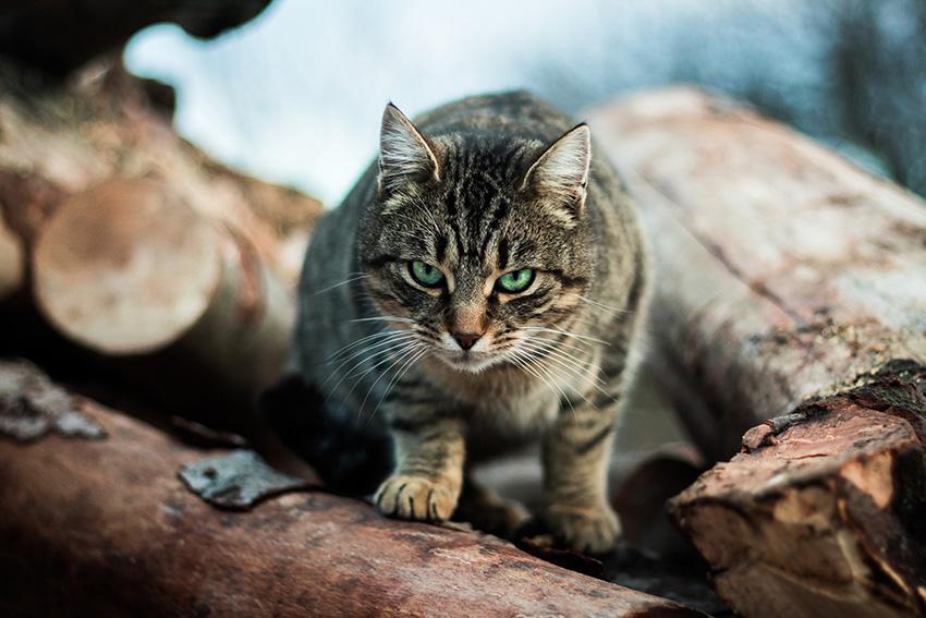 - Pour ce visuel, l'oeil est immédiatement attiré par la tête du chat, et plus précisément par son regard, qui est la partie nette de la photo