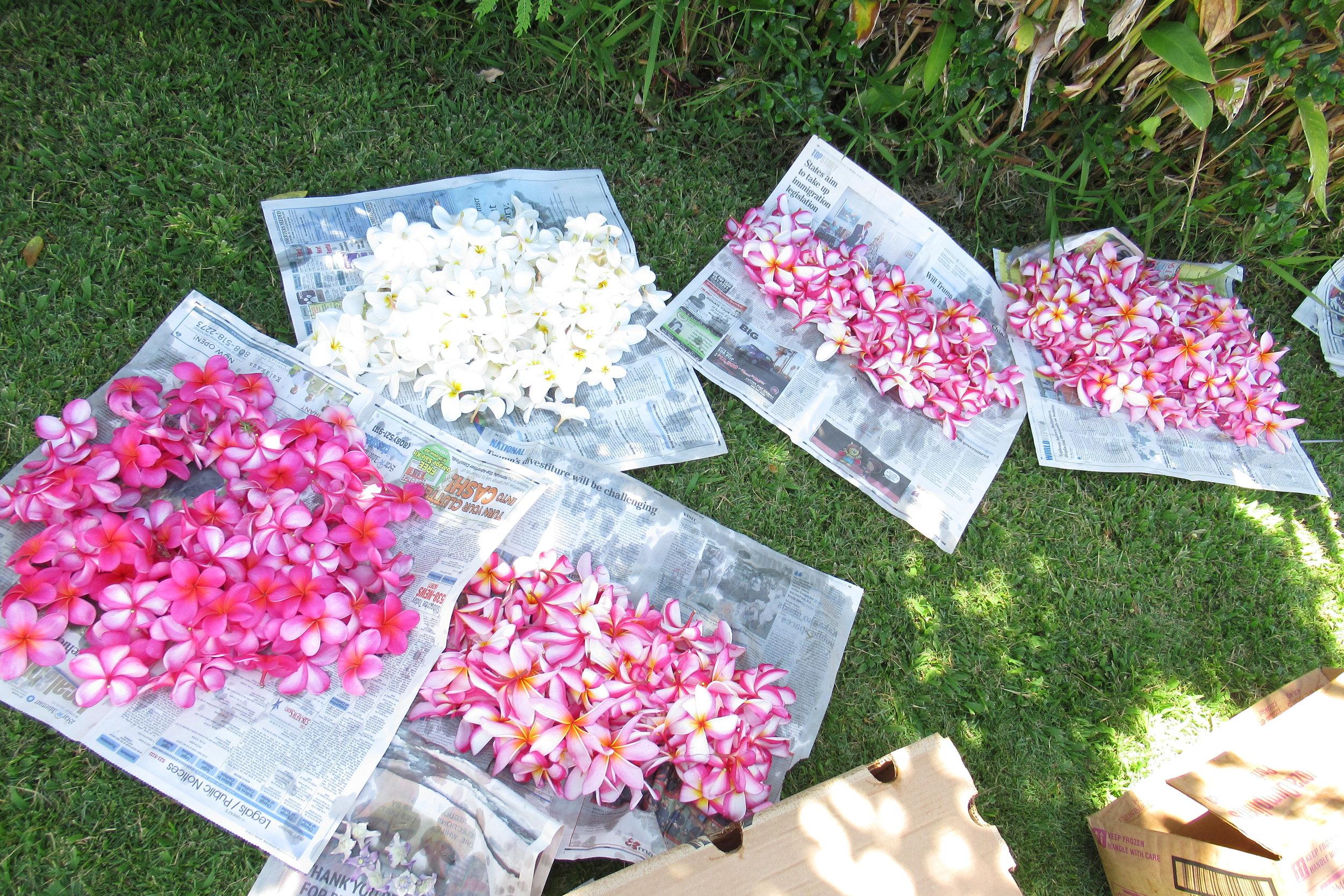 Frangipani Flowers - Lei Making.JPG