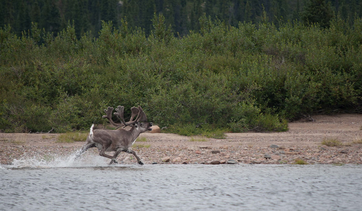 Caribou from the George River Herd in Quebec (Photo: Valérie Courtois).